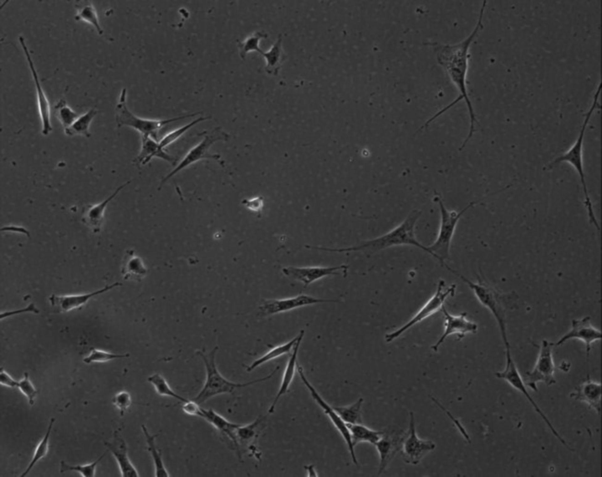 Mus musculus (parte matrice extracellulare) - CIL:9013