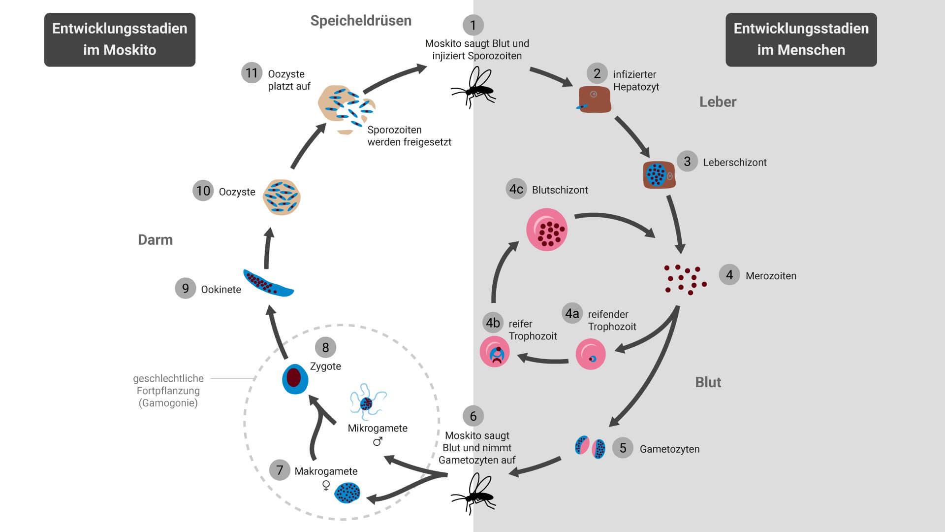Entwicklungszyklus von Plasmodien
