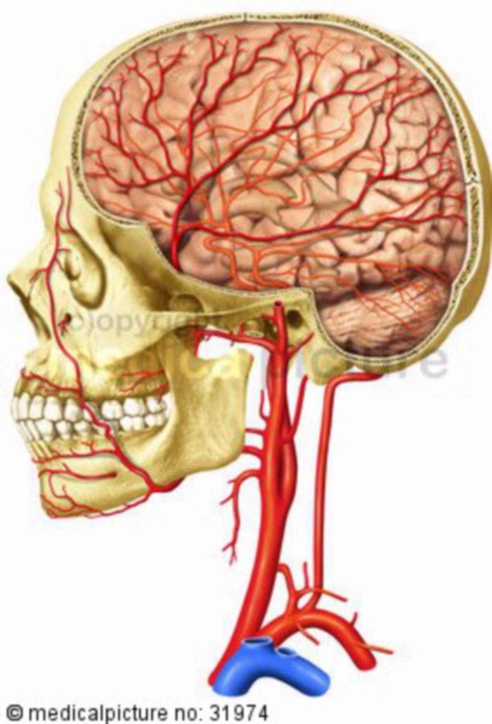 Arterie del cranio