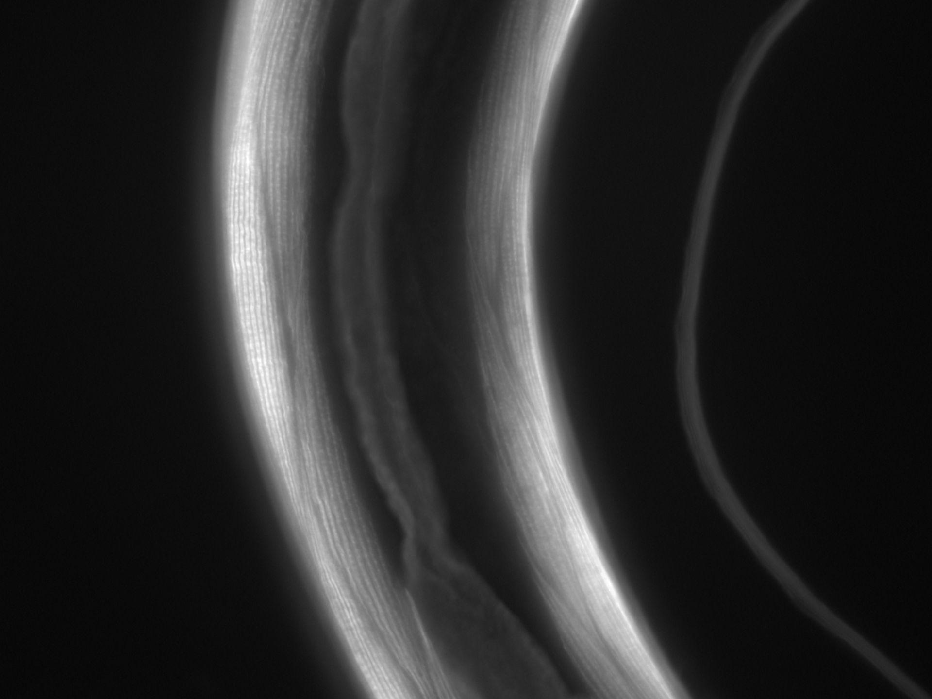 Caenorhabditis elegans (Actin filament) - CIL:1066
