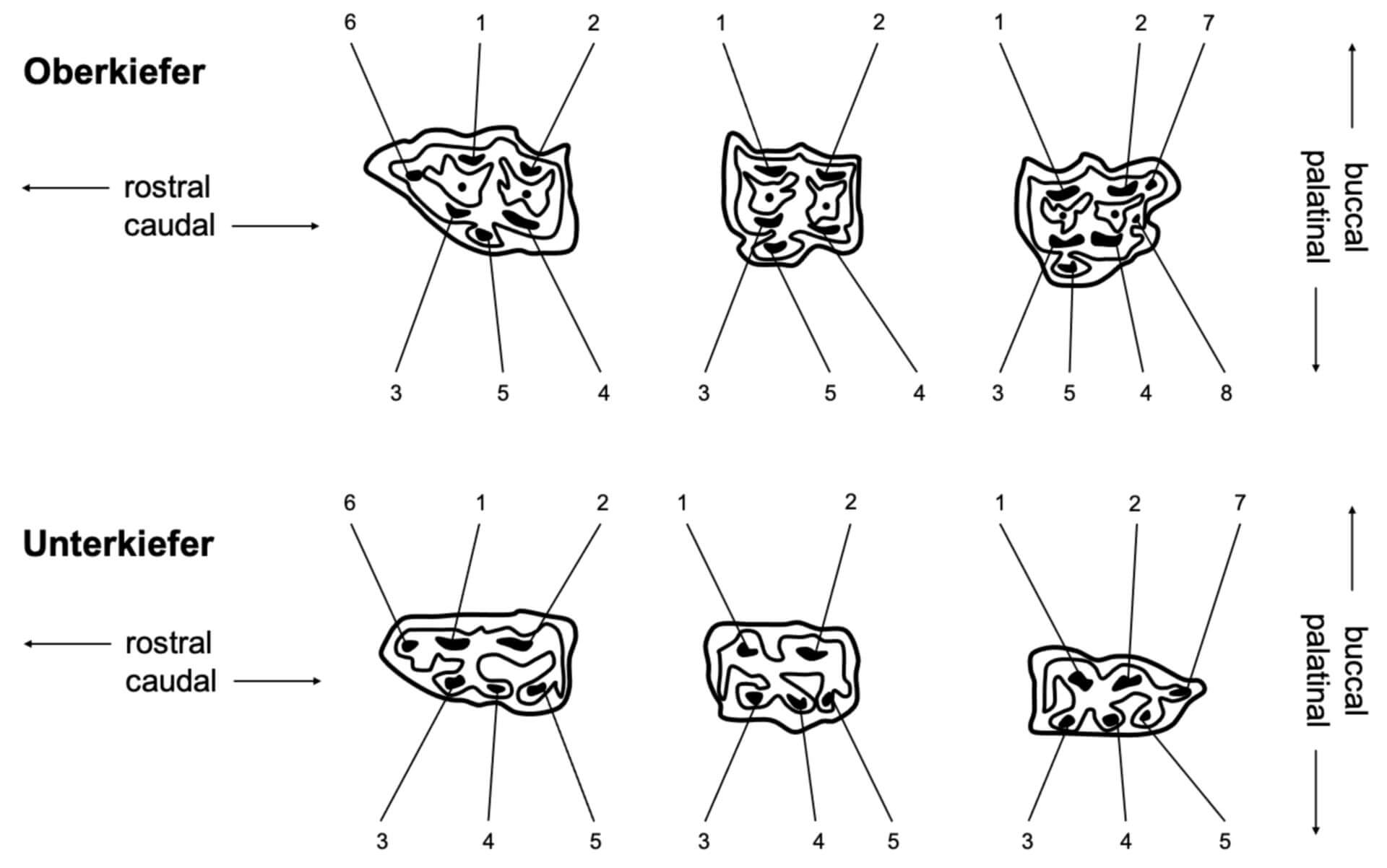 Pulpenpositionen der Backenzähne (© Patrick Messner)