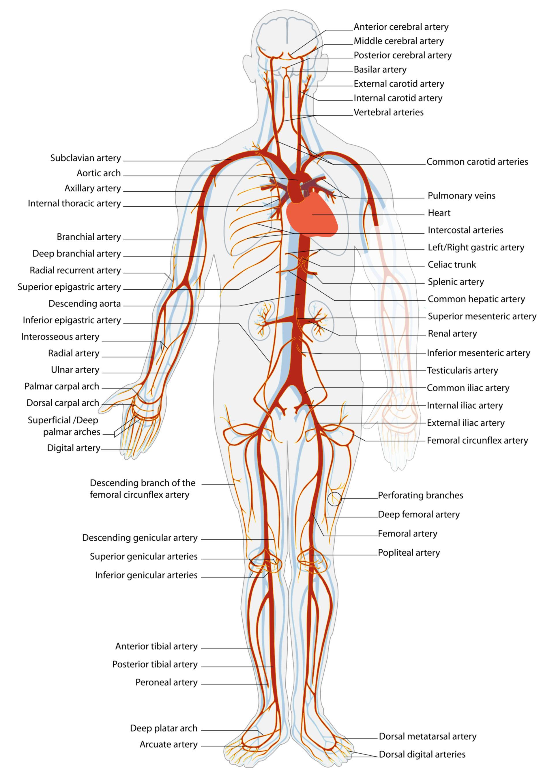 Sistema Circulatorio: Arterias