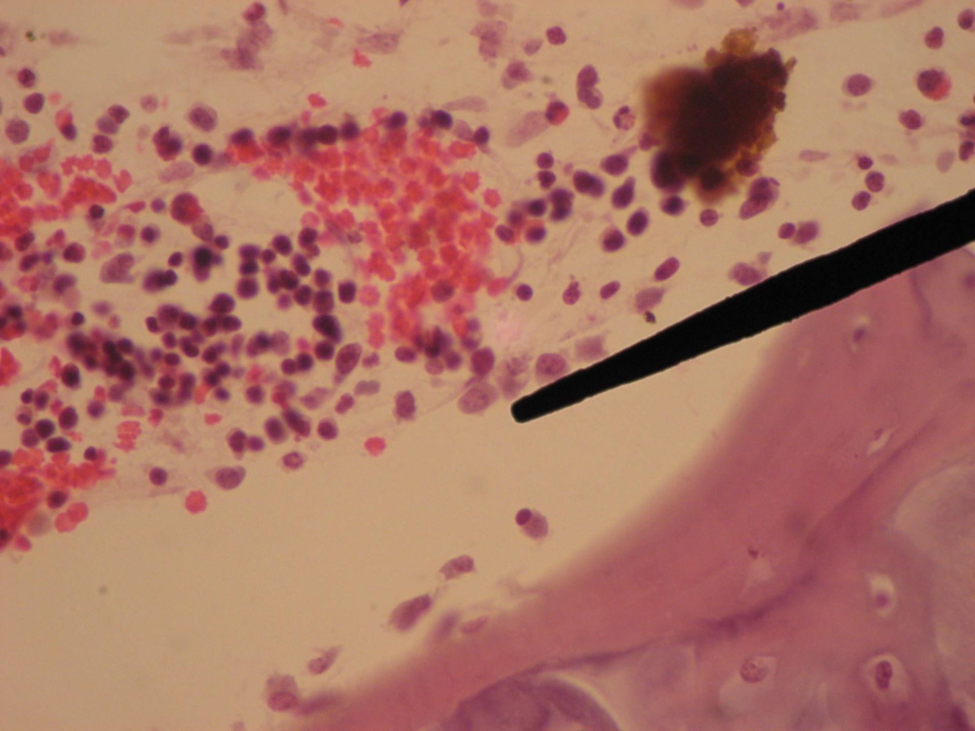 Red bone marrow of a pig fetus (4) - macrophage