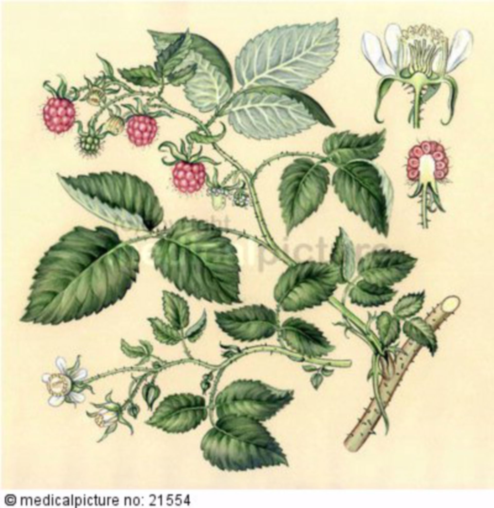 Himbeere, Rubus idaeus