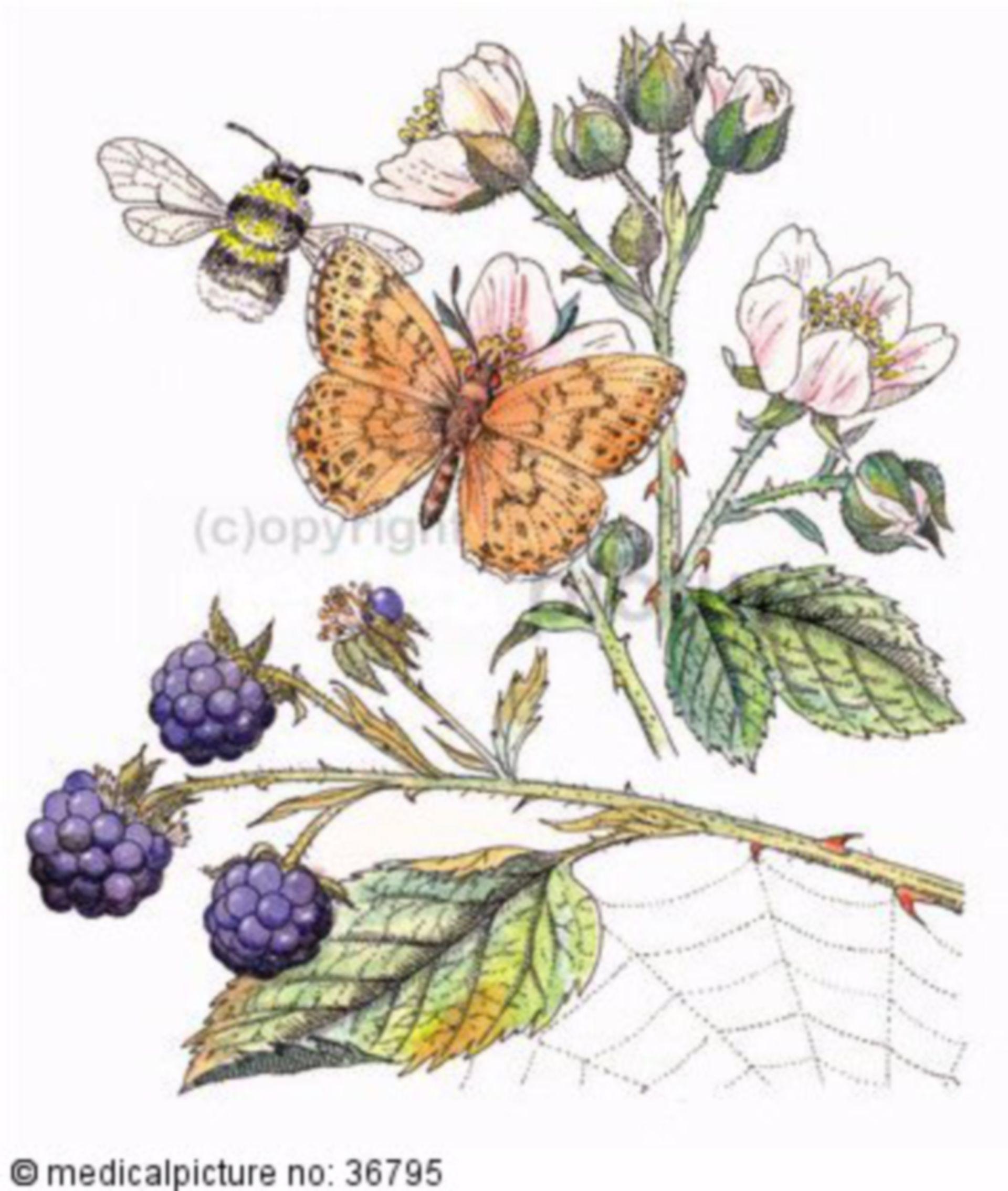 Strauch, Rubus fruticosus, Brombeeren