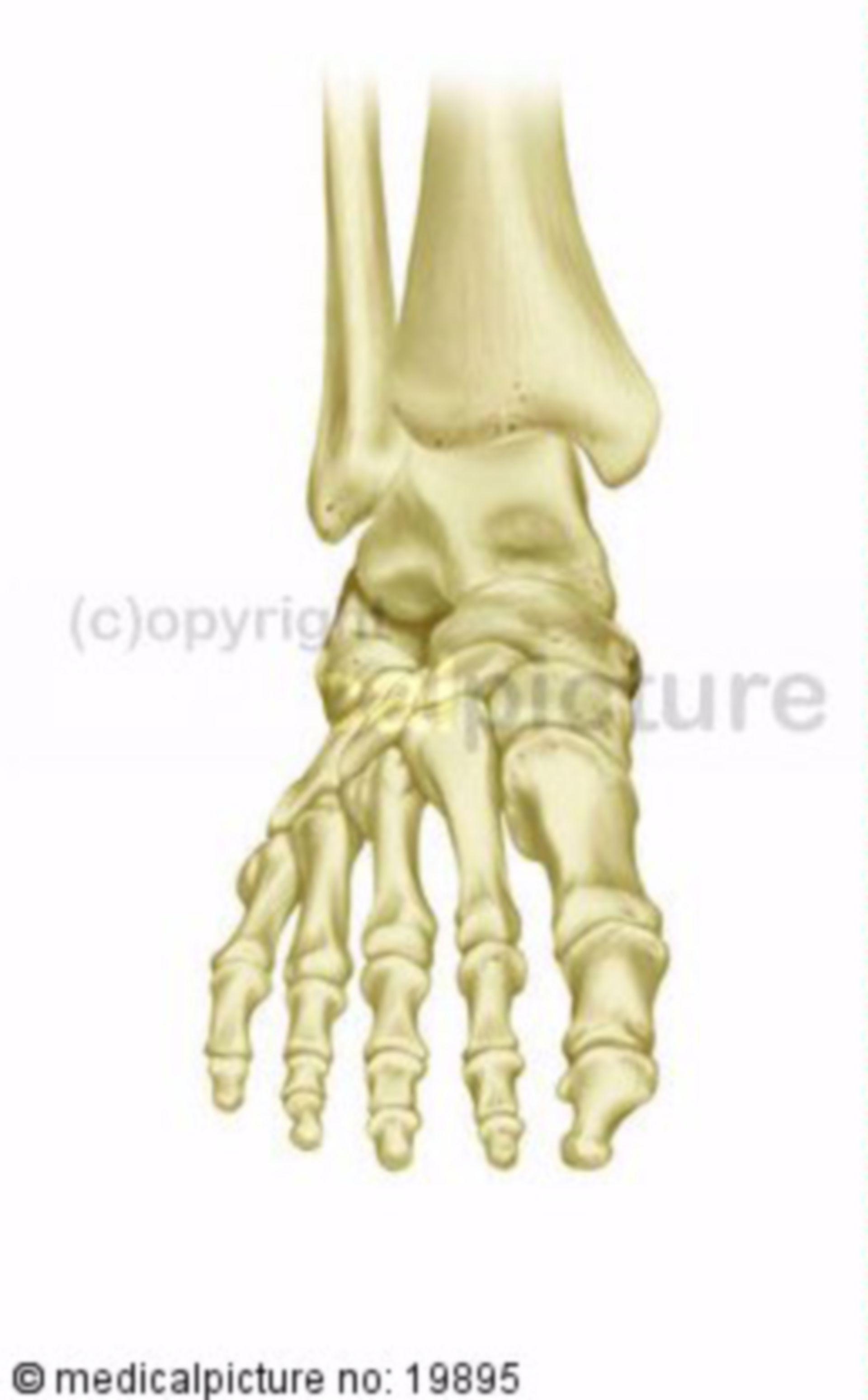 Human right foot skeleton