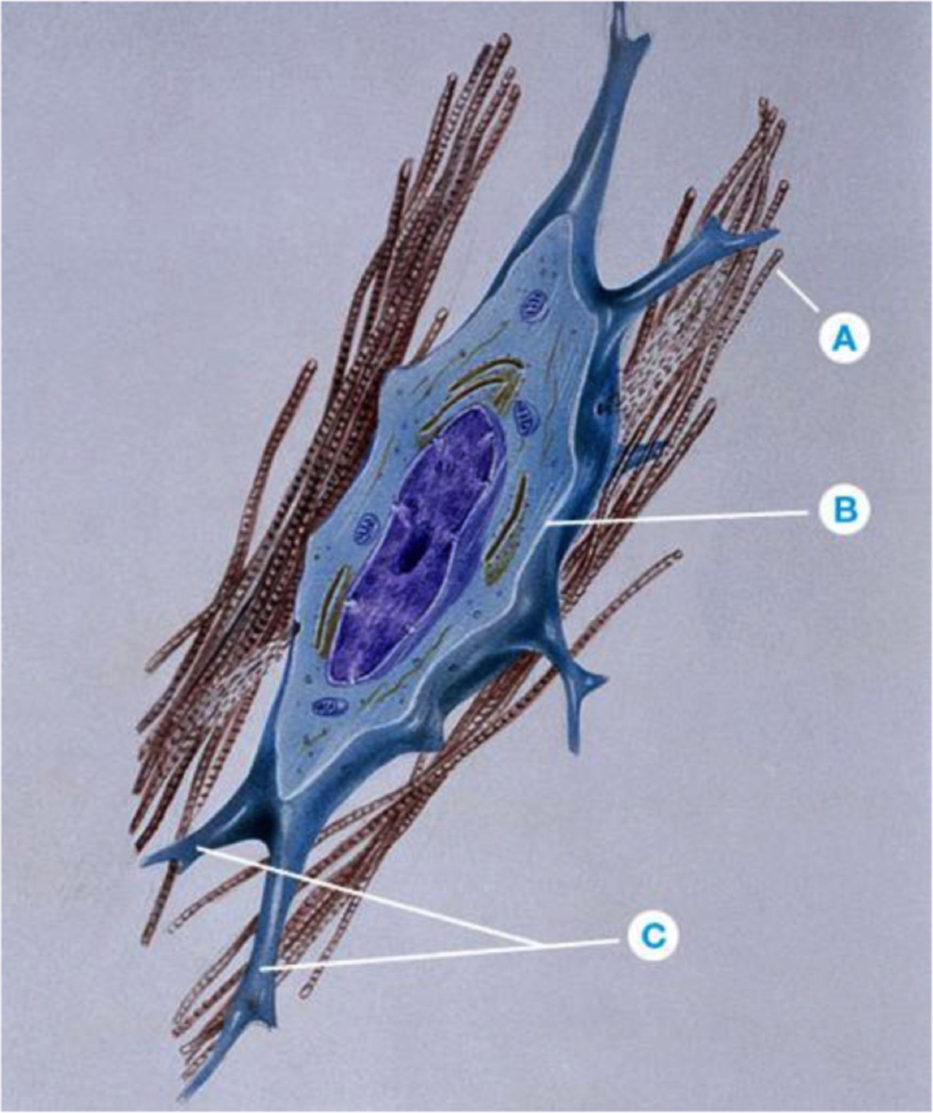 Tierzellen: Fibroblast