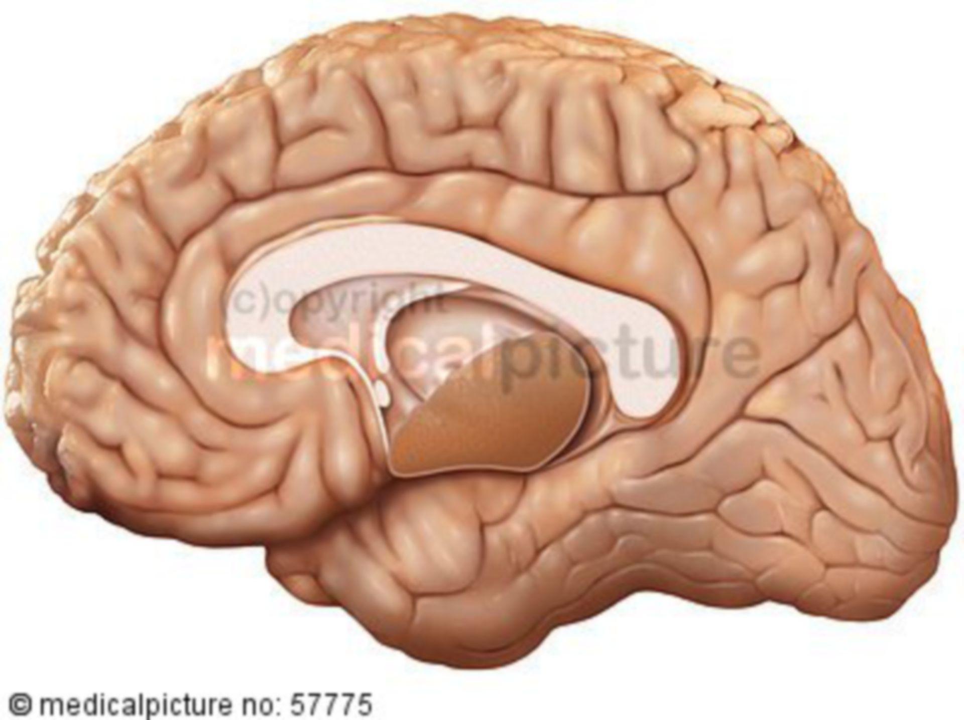 Anatomische Illustrationen - Gehirn (Sagittalschnitt)