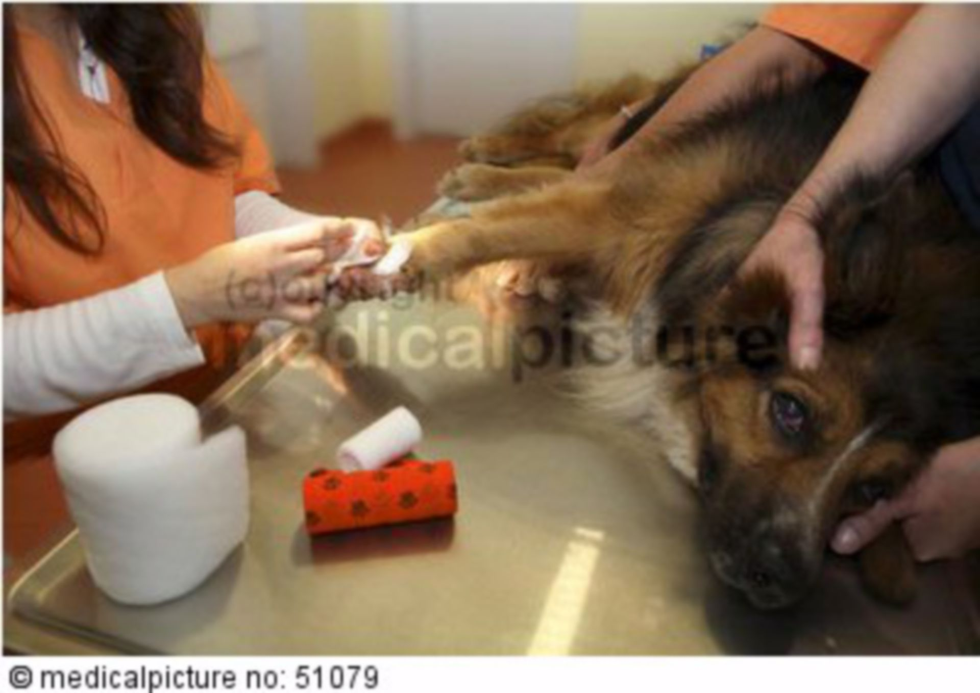 Bandage change on dog`s paw, veterinarian