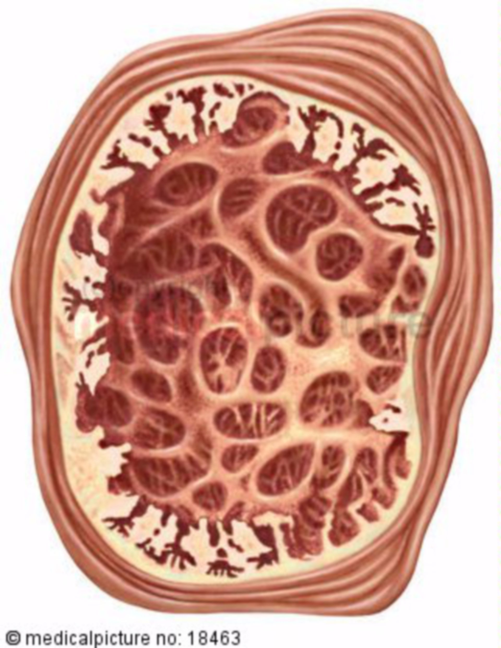 Cross-section of seminal vesicle