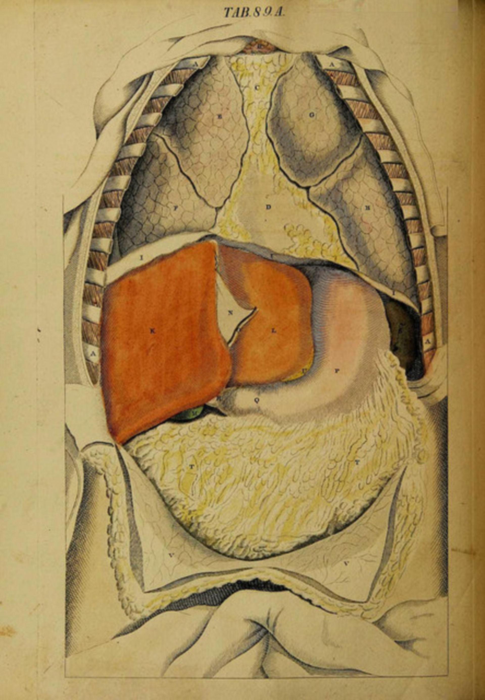 Oberflächlich liegende Organe Bauch und Brust