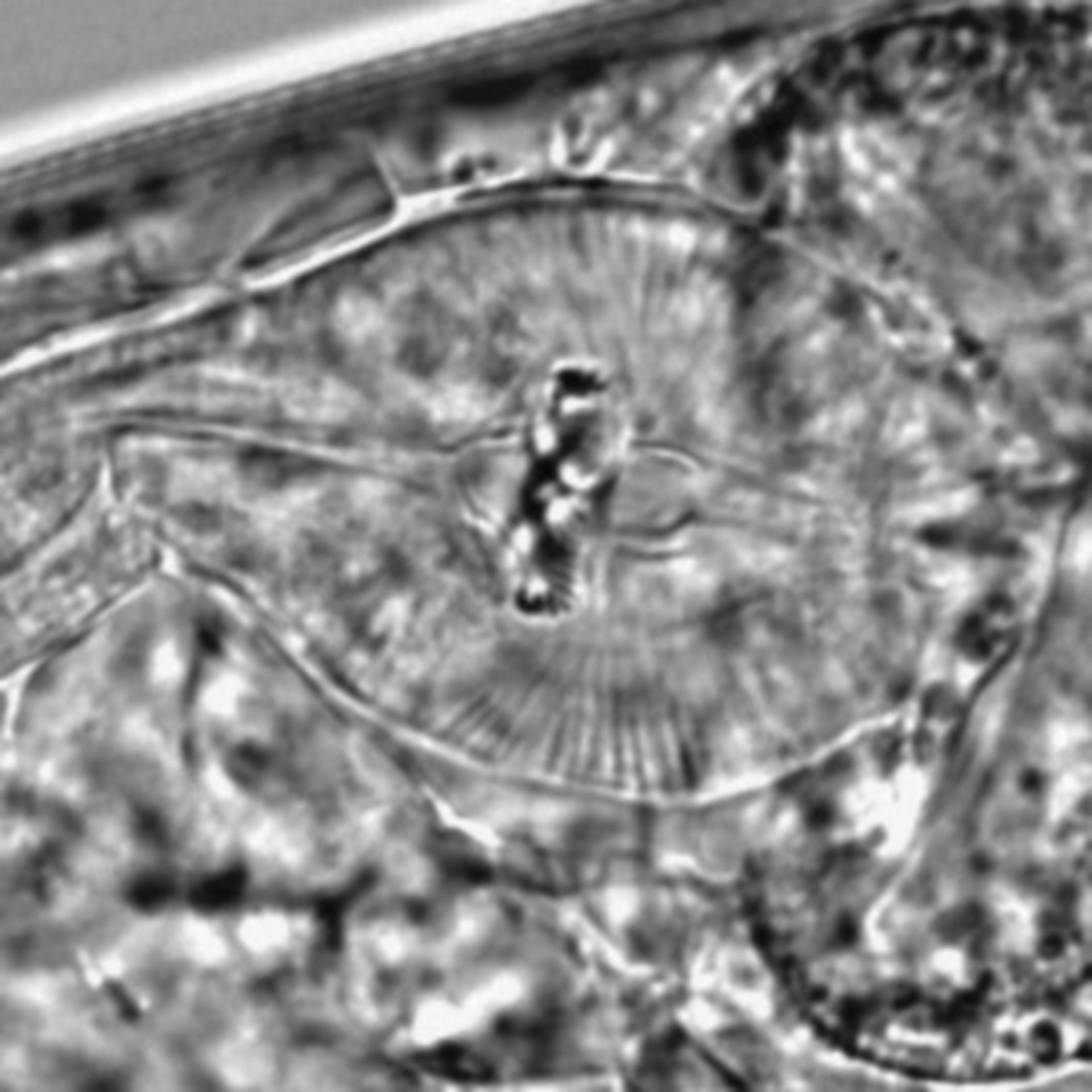 Caenorhabditis elegans - CIL:1644