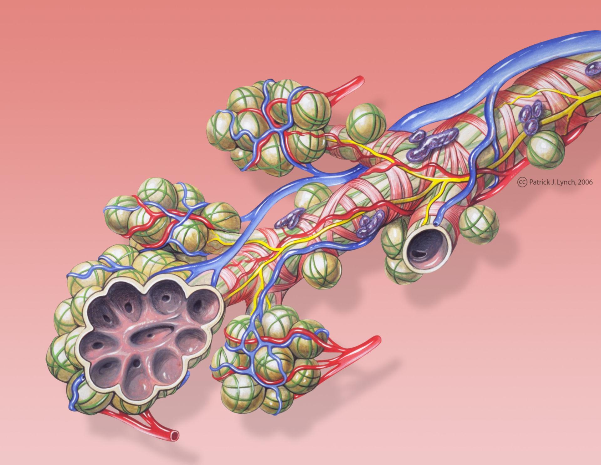 Anatomia dei polmoni