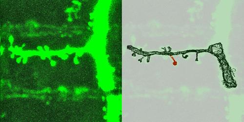 Beim Lernen wachsen auf Nervenzellen Fortsätze, an deren Ende sich eine Synapse befindet (links im Original, rechts in der Rekonstruktion). Wächst die Synapse mit einem ausgewogenen Verhältnis aller Komponenten, bleibt sie auch über längere Zeiten stabil. [weniger] © MPI f. Neurobiologie/ Meyer
