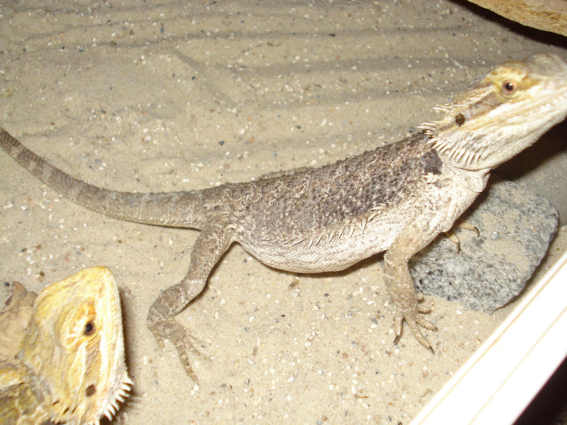 Veterinary Medicine: Female Bearded Dragon