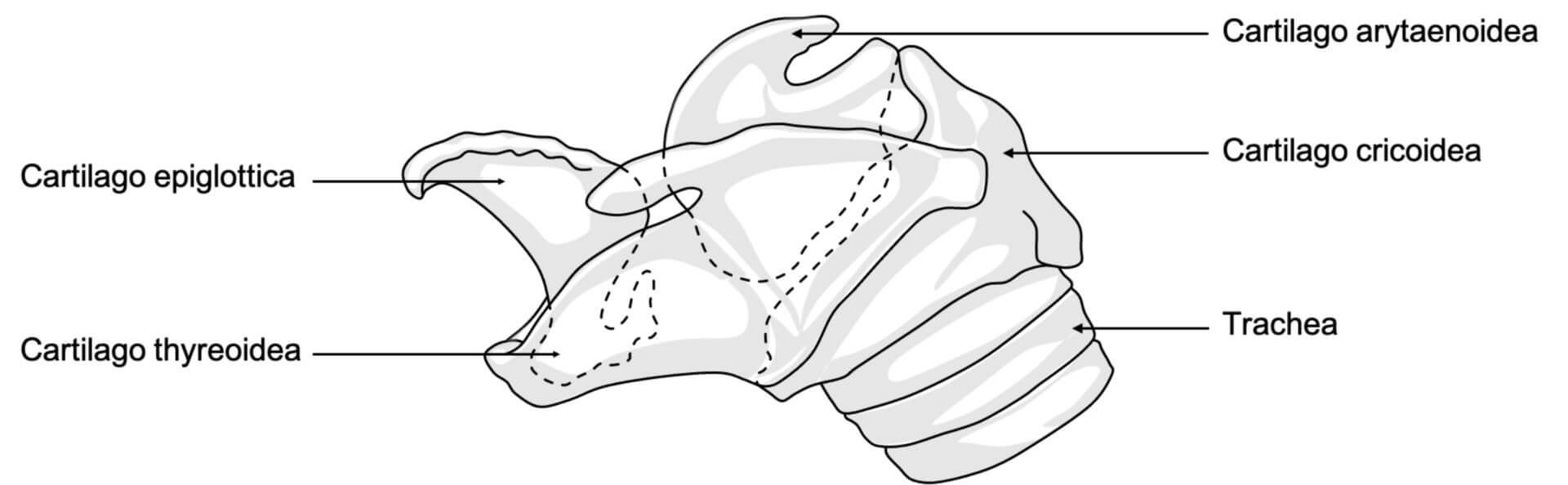 Kehlkopfknorpel beim Pferd (© Patrick Messner)
