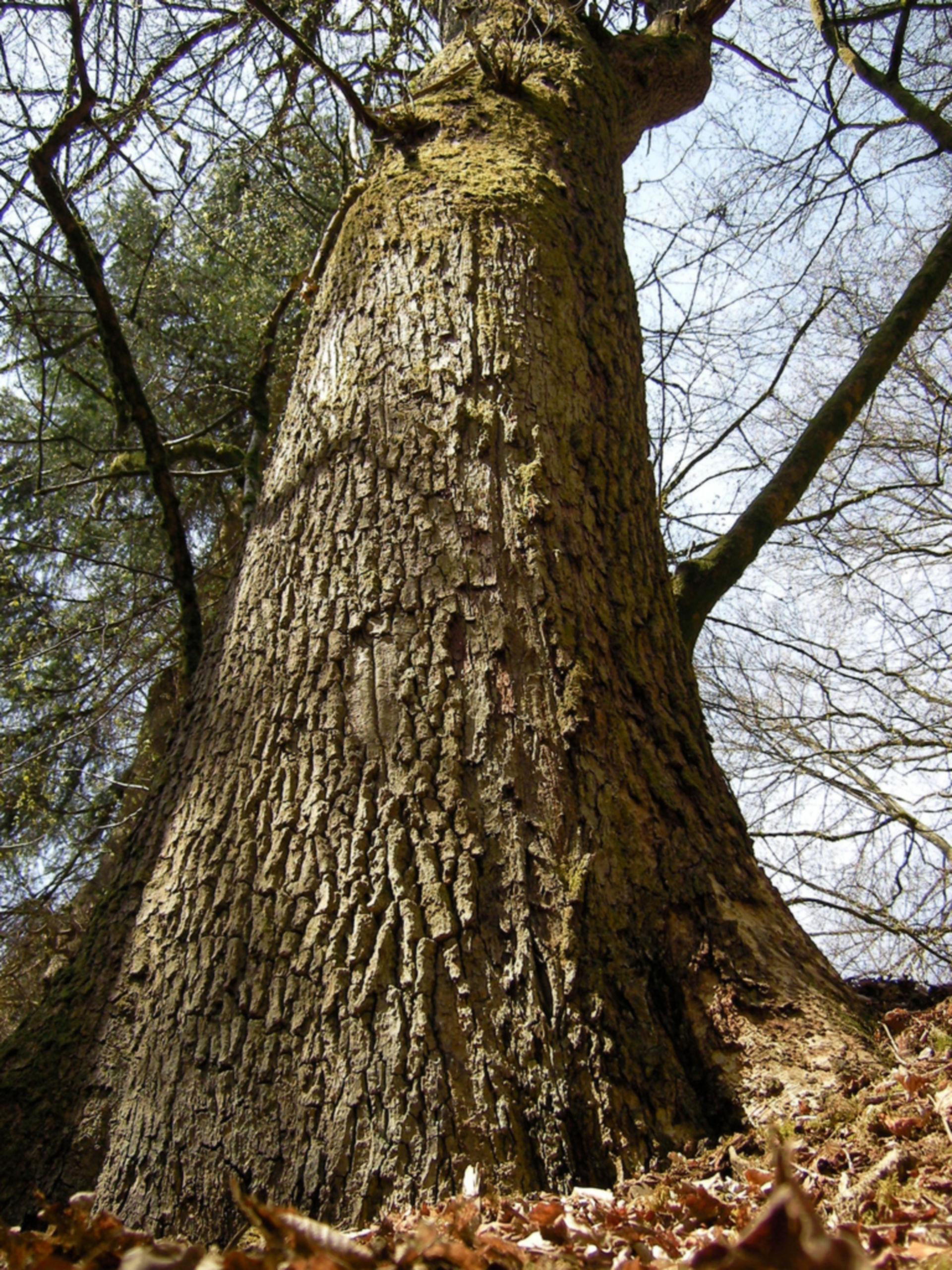 Quercus spec. (Eiche)