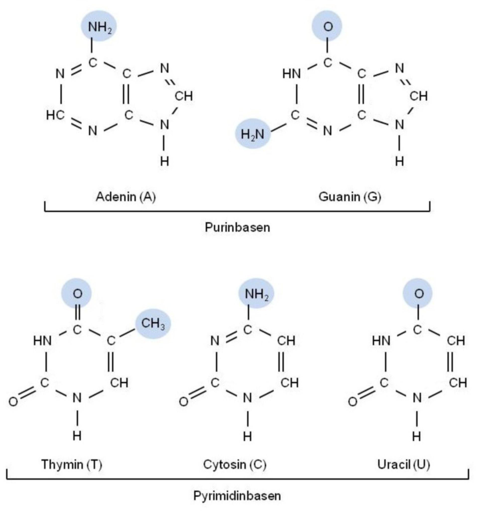 Nucleotide bases