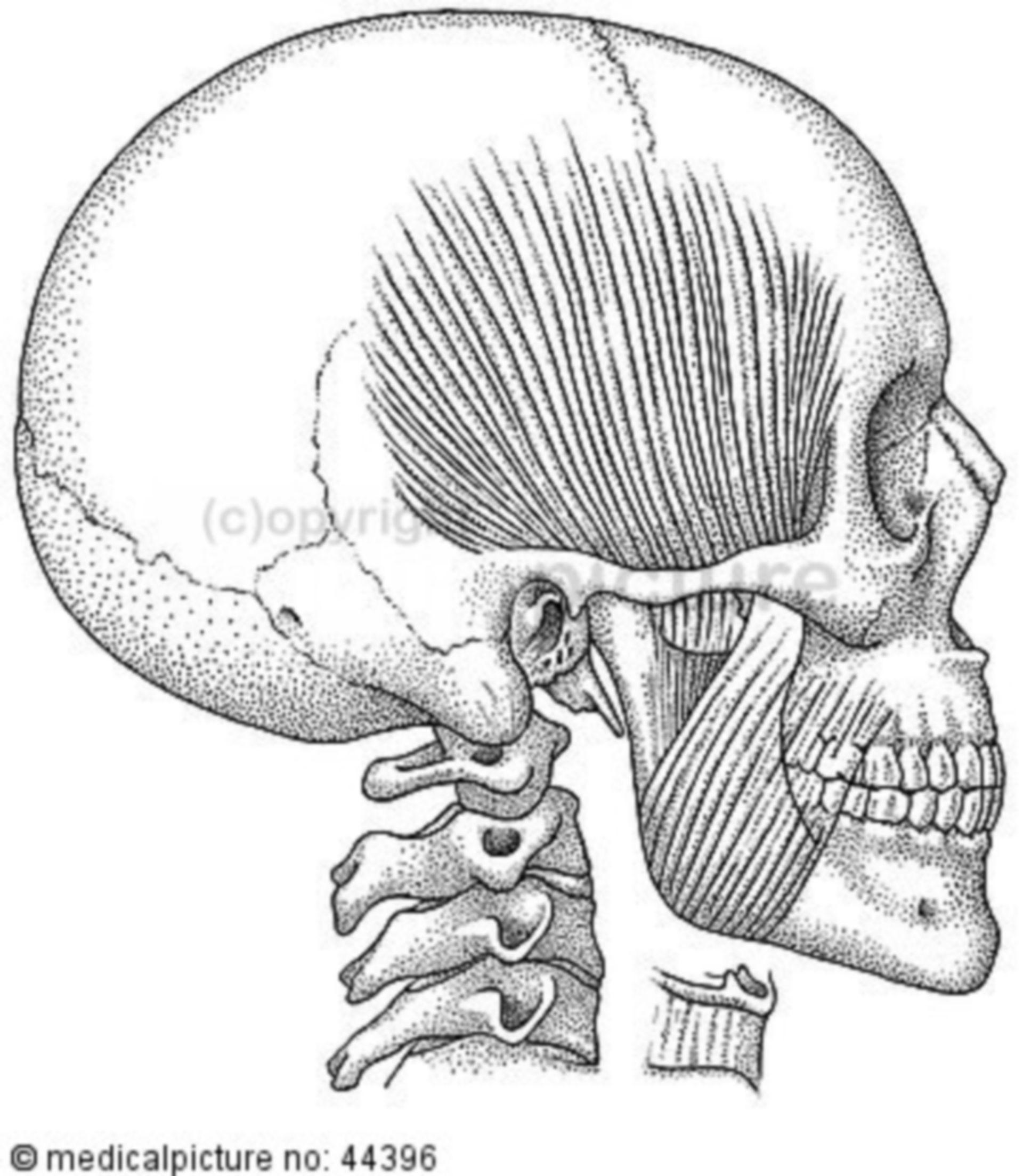Schädel mit Kaumuskulatur, cranium with muscles of mastication