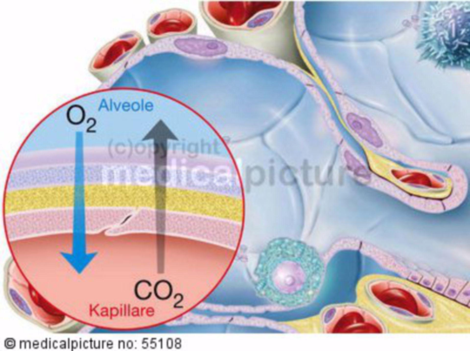Exchange of substances in the alveoles