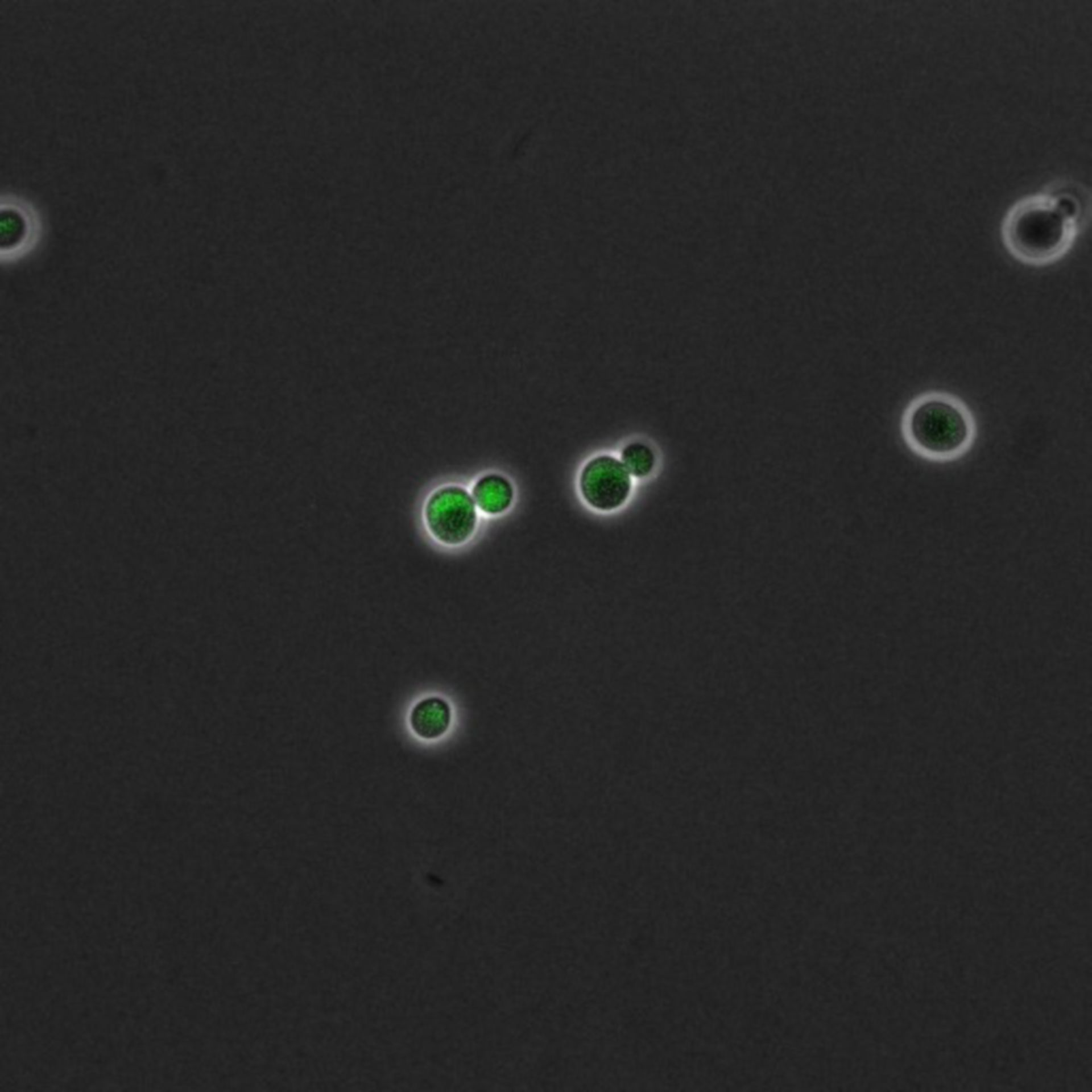 Saccharomyces cerevisiae (DNA replication preinitiation complex) - CIL:35667