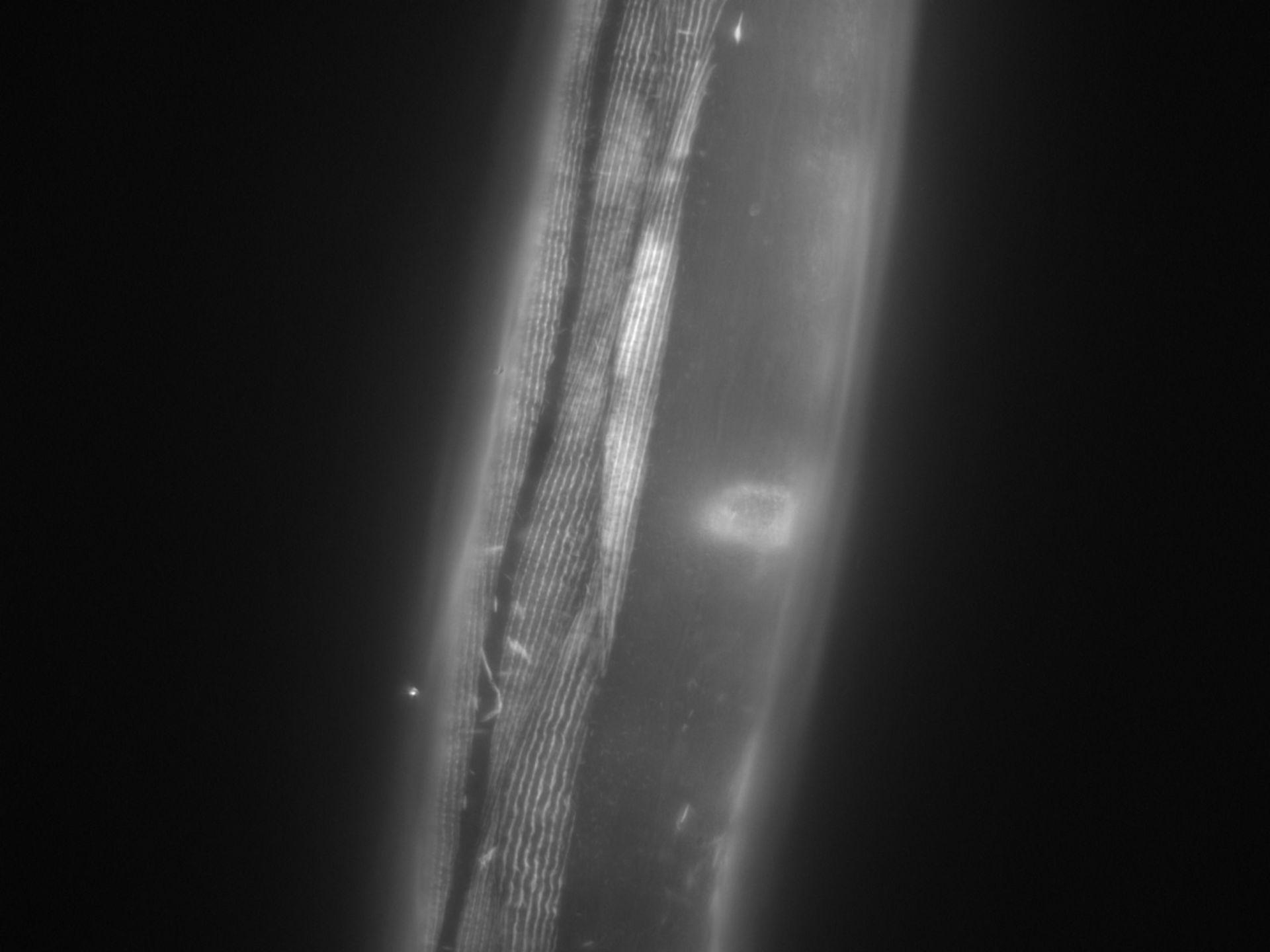 Caenorhabditis elegans (Actin filament) - CIL:1015