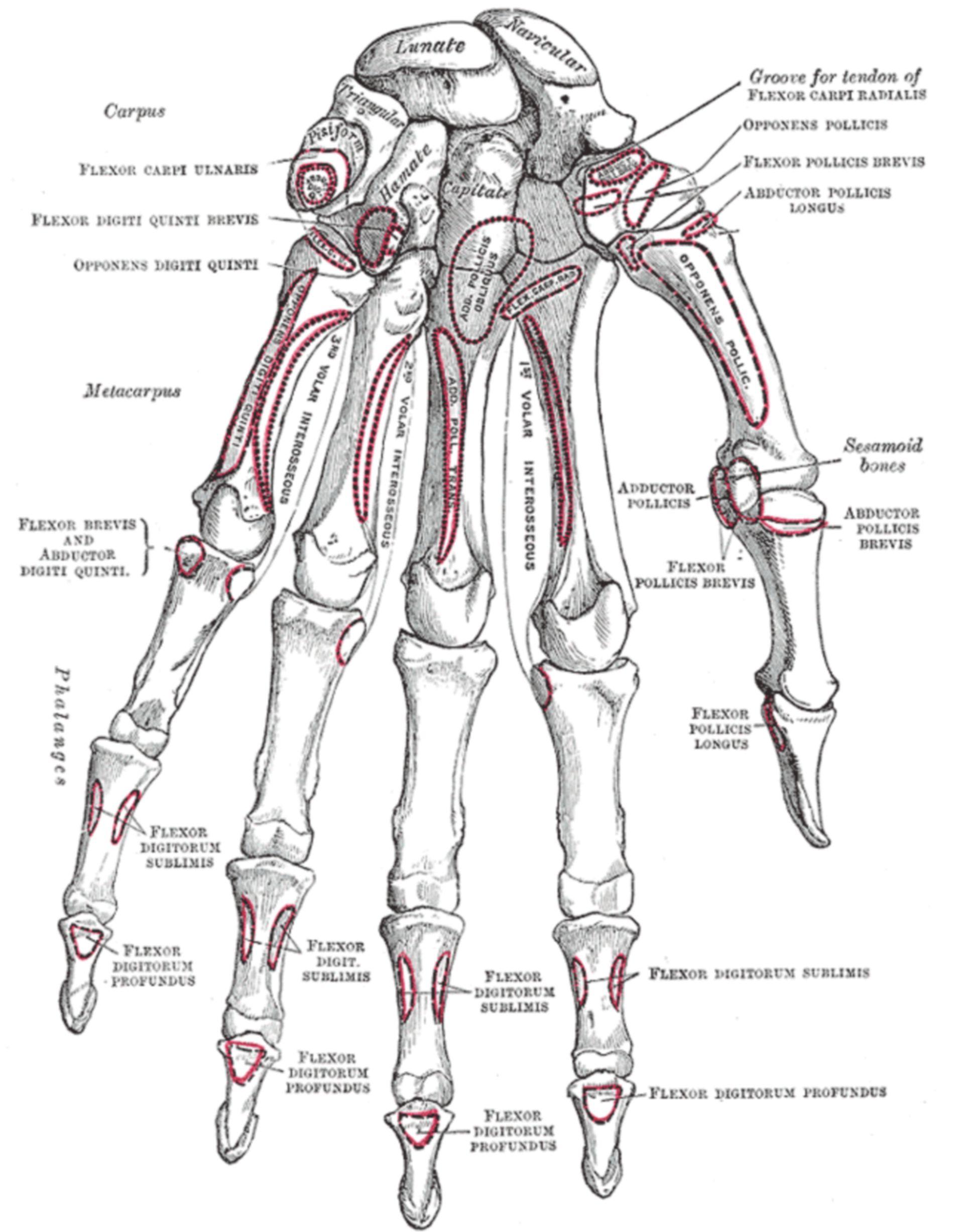 Knochen der linken Hand (Beugeseite)