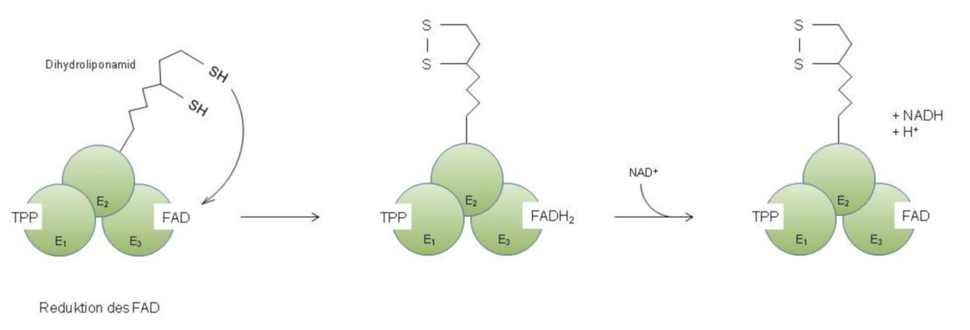 Regeneración del enlace disulfuro en amida lipoico y formación de NADH