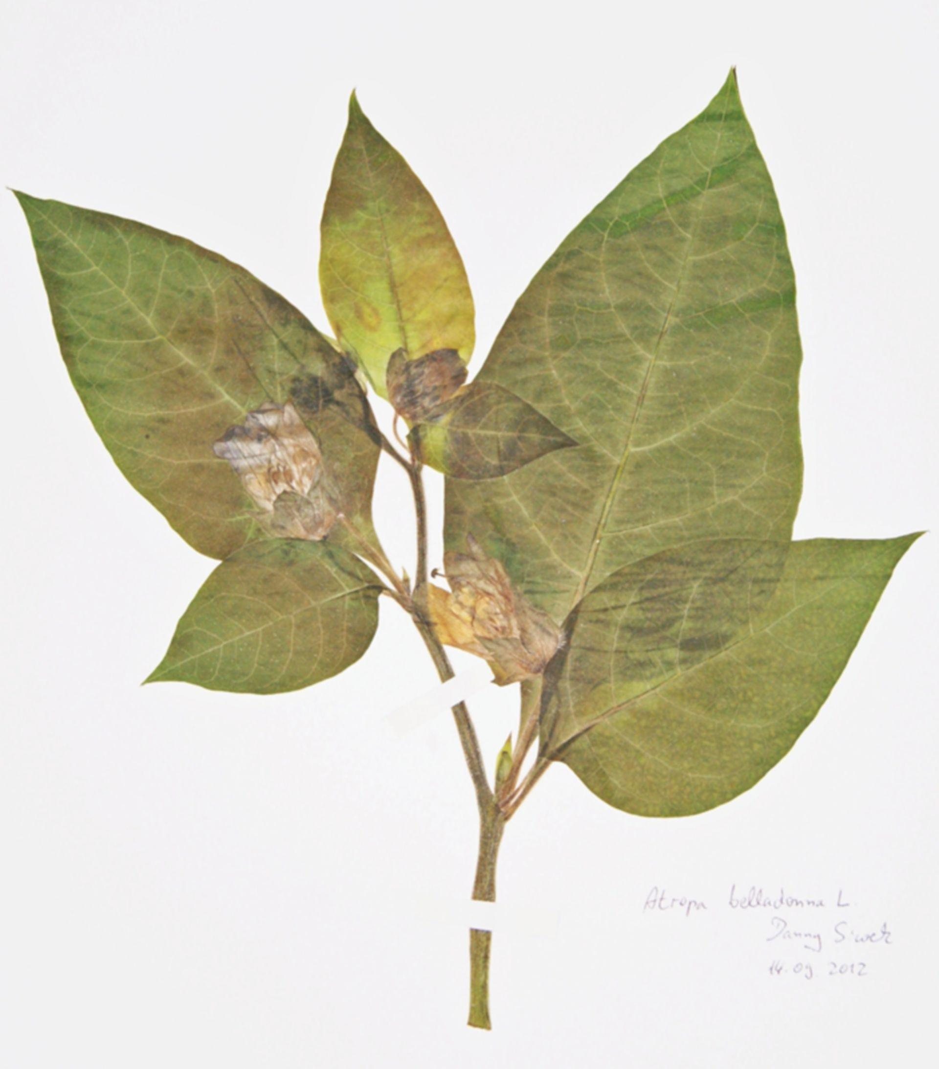 Atropa bella-donna L. Herbarbeleg