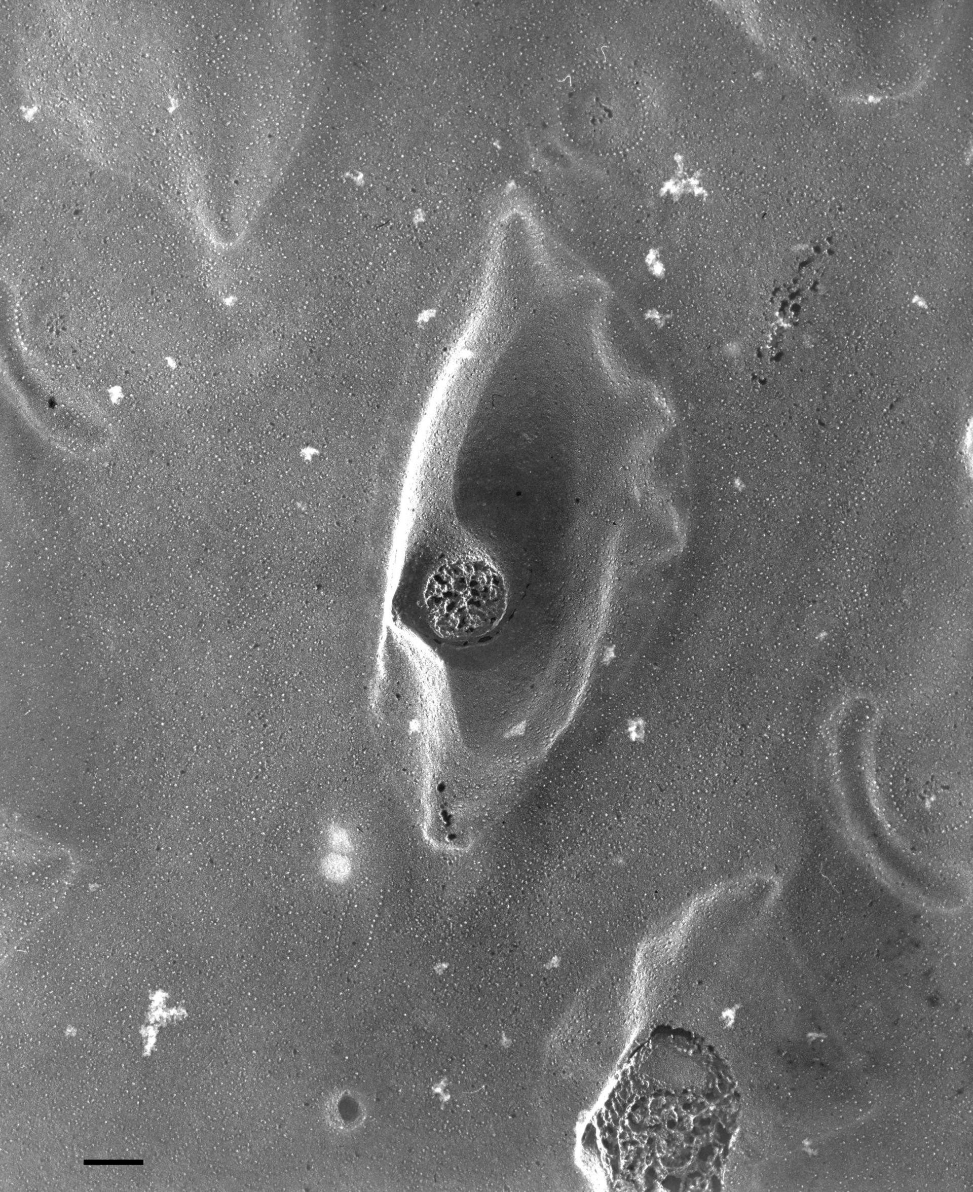 Paramecium multimicronucleatum (Pellicola) - CIL:36668