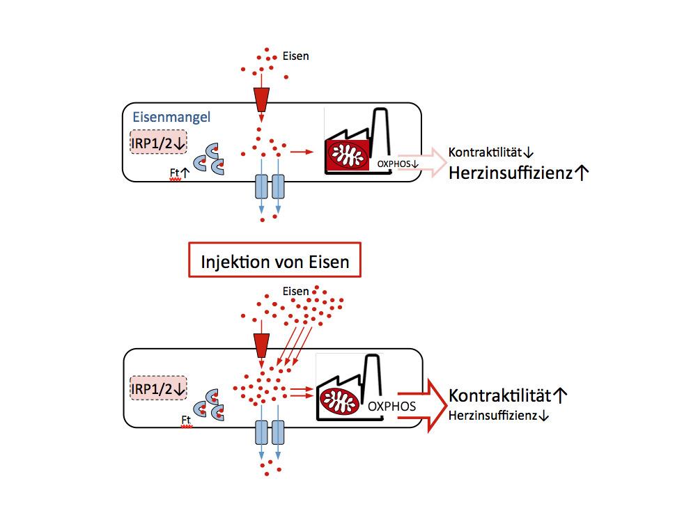 Bei Eisenmangel produzieren Mitochondrien zu wenig Energie und Herzmuskelzellen sind wenig leistungsfähig (oben), zusätzliches Eisen erhöht Energieproduktion und Leistungsfähigkeit (unten)