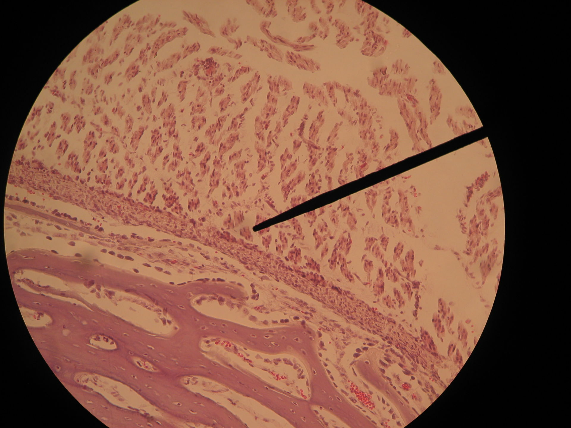 Red bone marrow of a pig fetus-periosteum