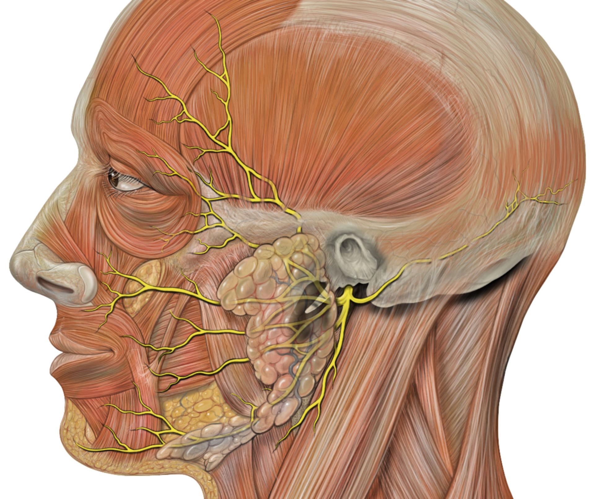 Anantomia del nervo facciale