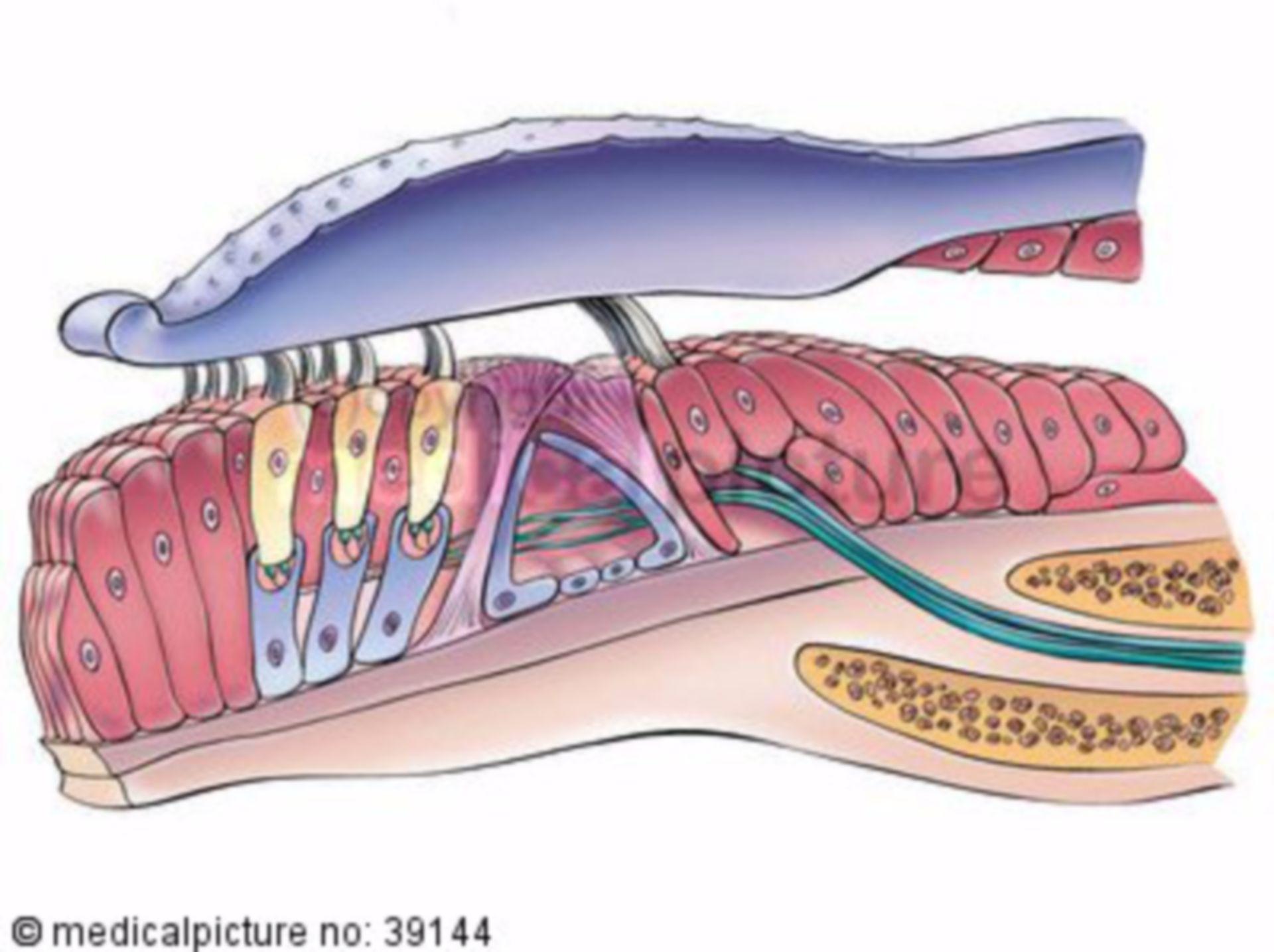Corti - organ, organon spirale, Schnecke, Cochlea