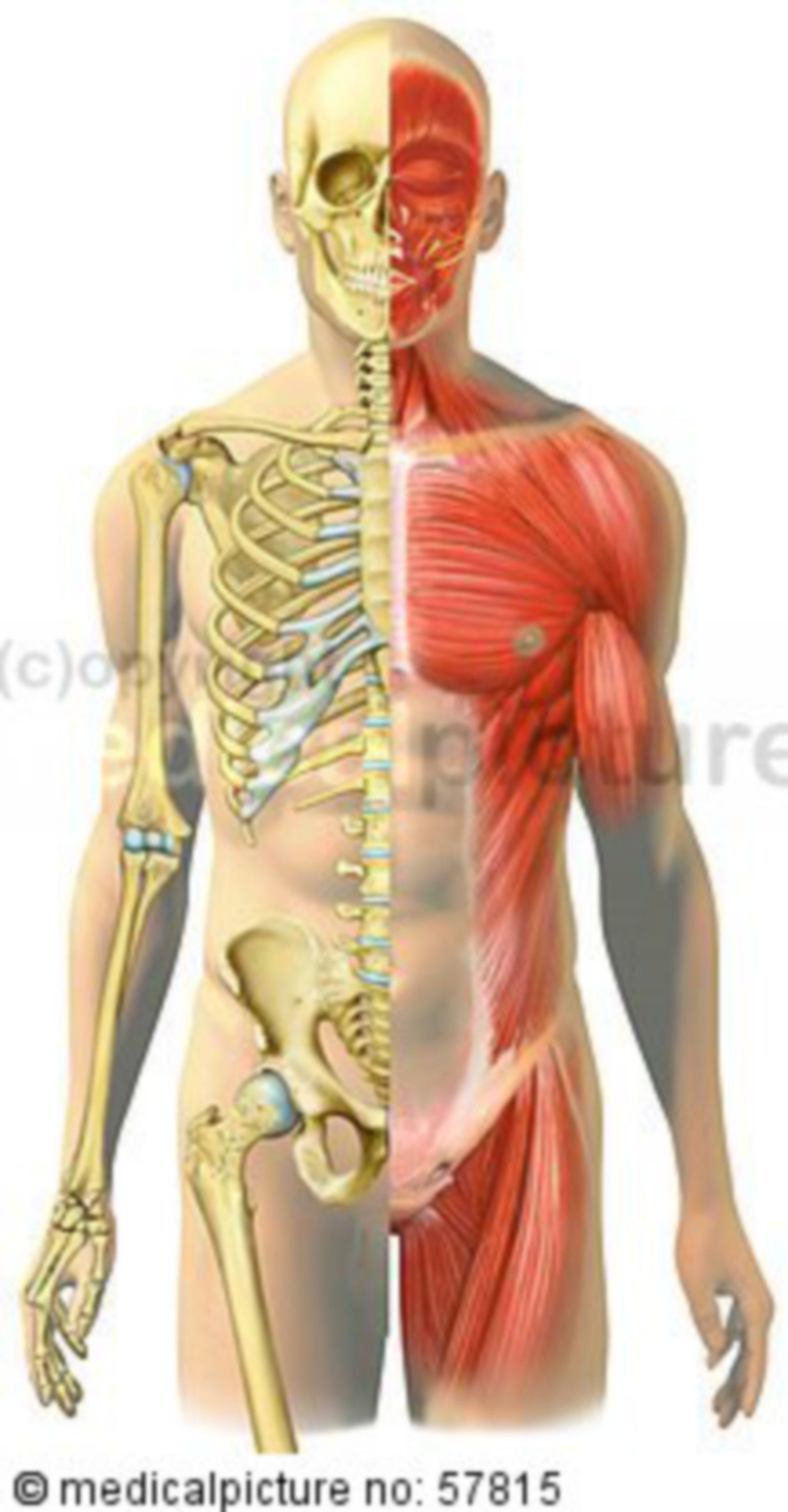 Anatomic Illustrations – Juxtaposition of Skeleton and Skeleton Muscles