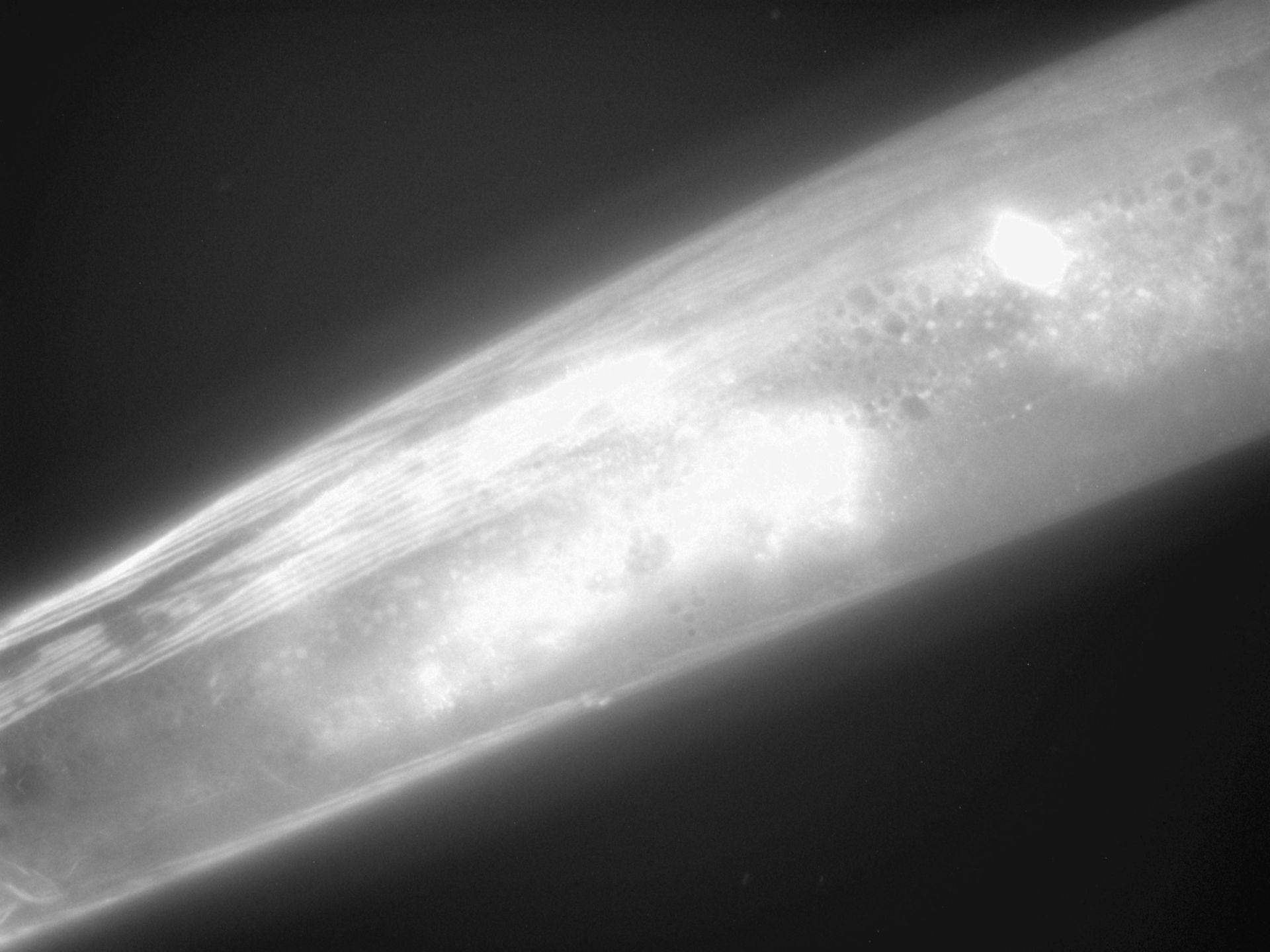 Caenorhabditis elegans (filamento di actina) - CIL:1300