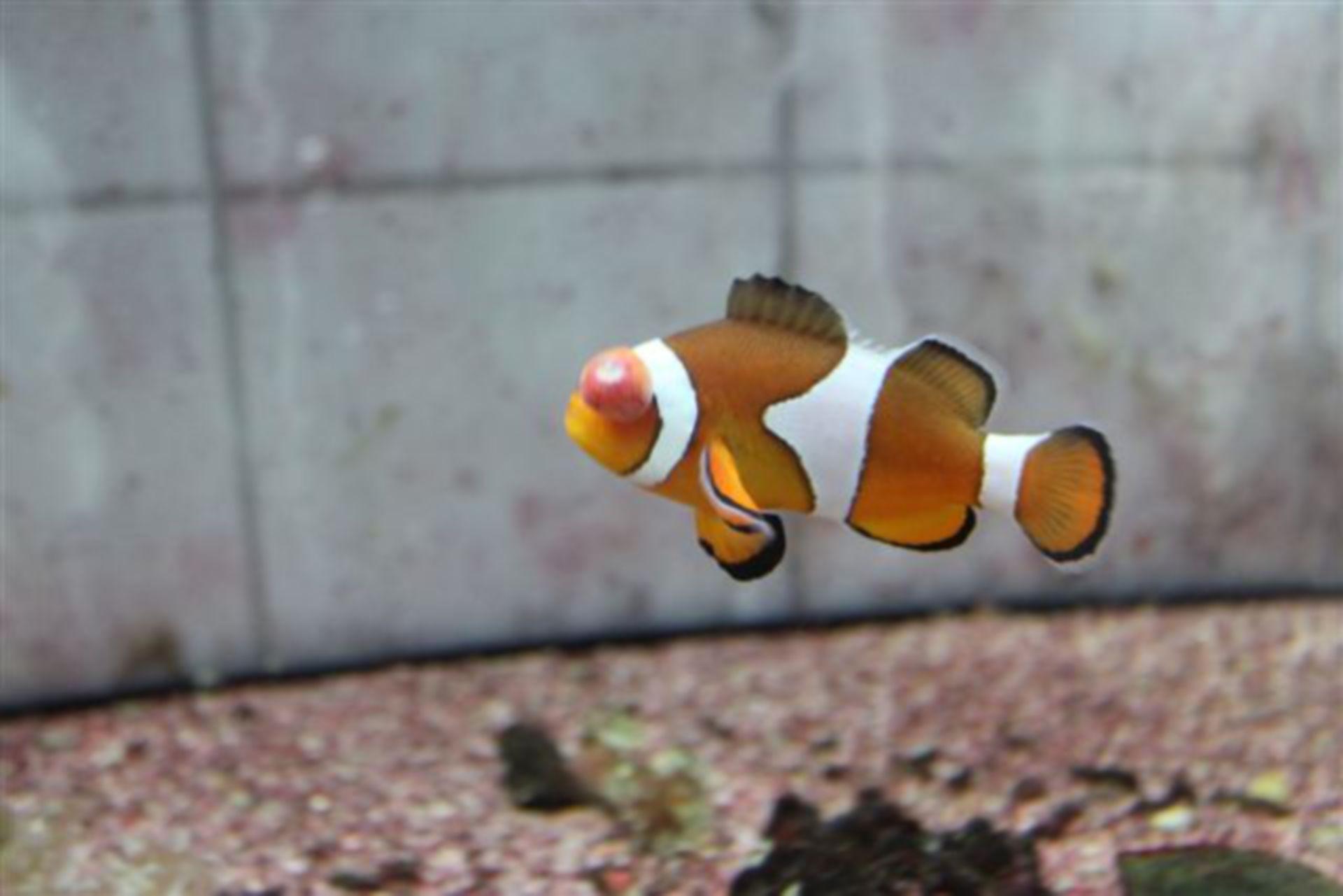 Tumor en un pez payaso