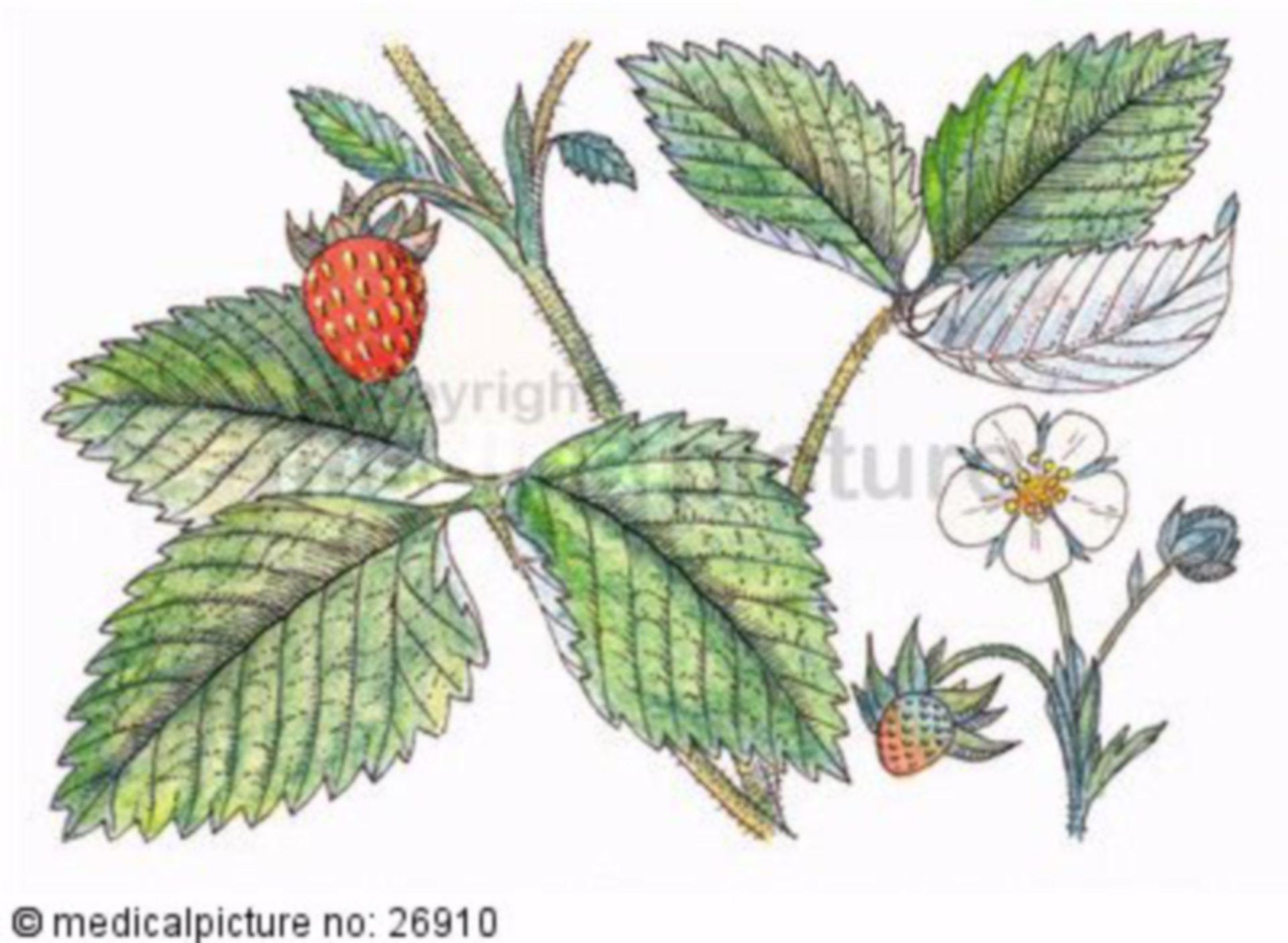 Strauch, Fragaria vesca, Walderdbeere