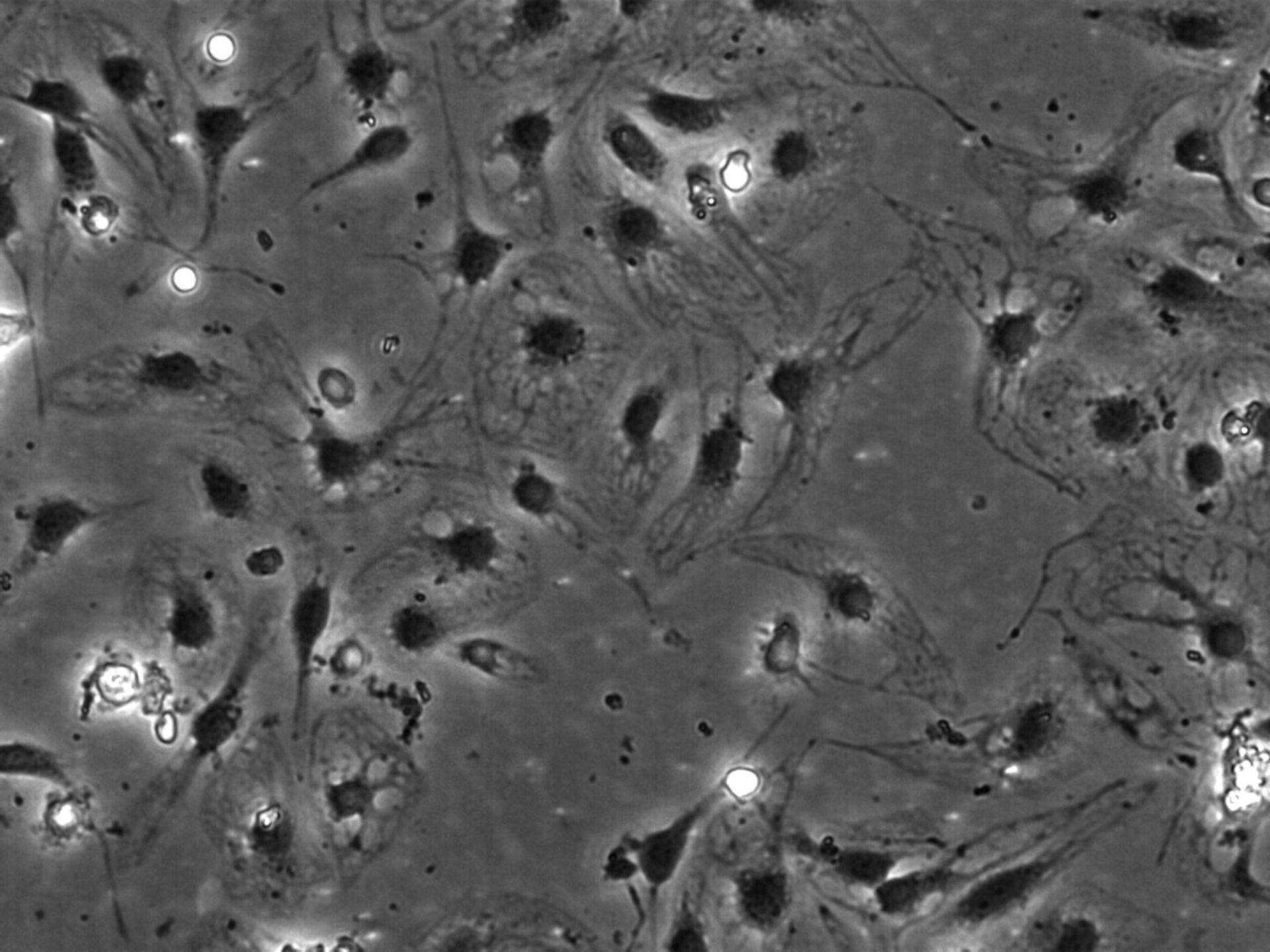 Rattus norvegicus (Blood vessel endothelial cell) - CIL:35462