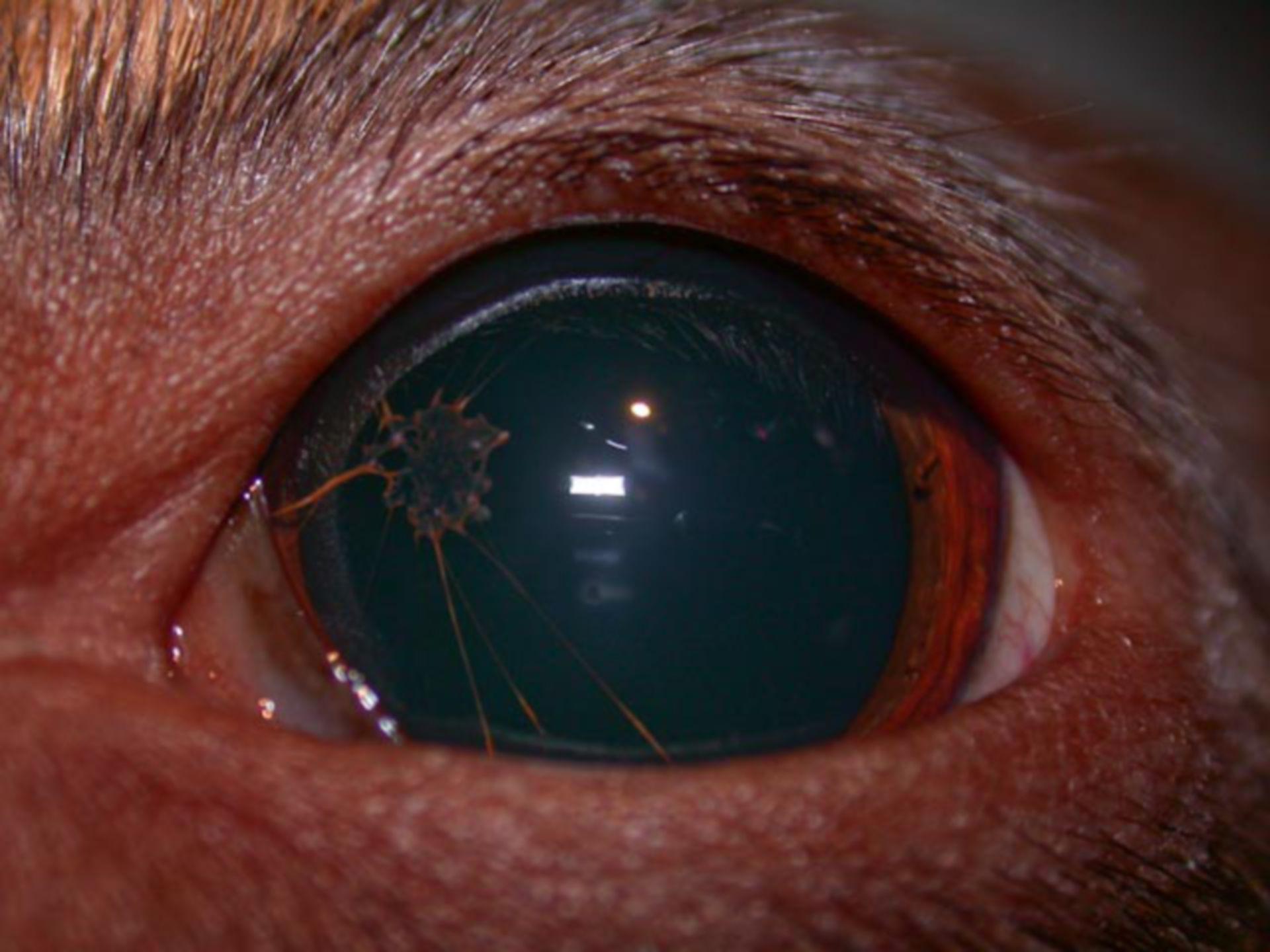 Veterinary medicine: Persisting Pupillar Membrane