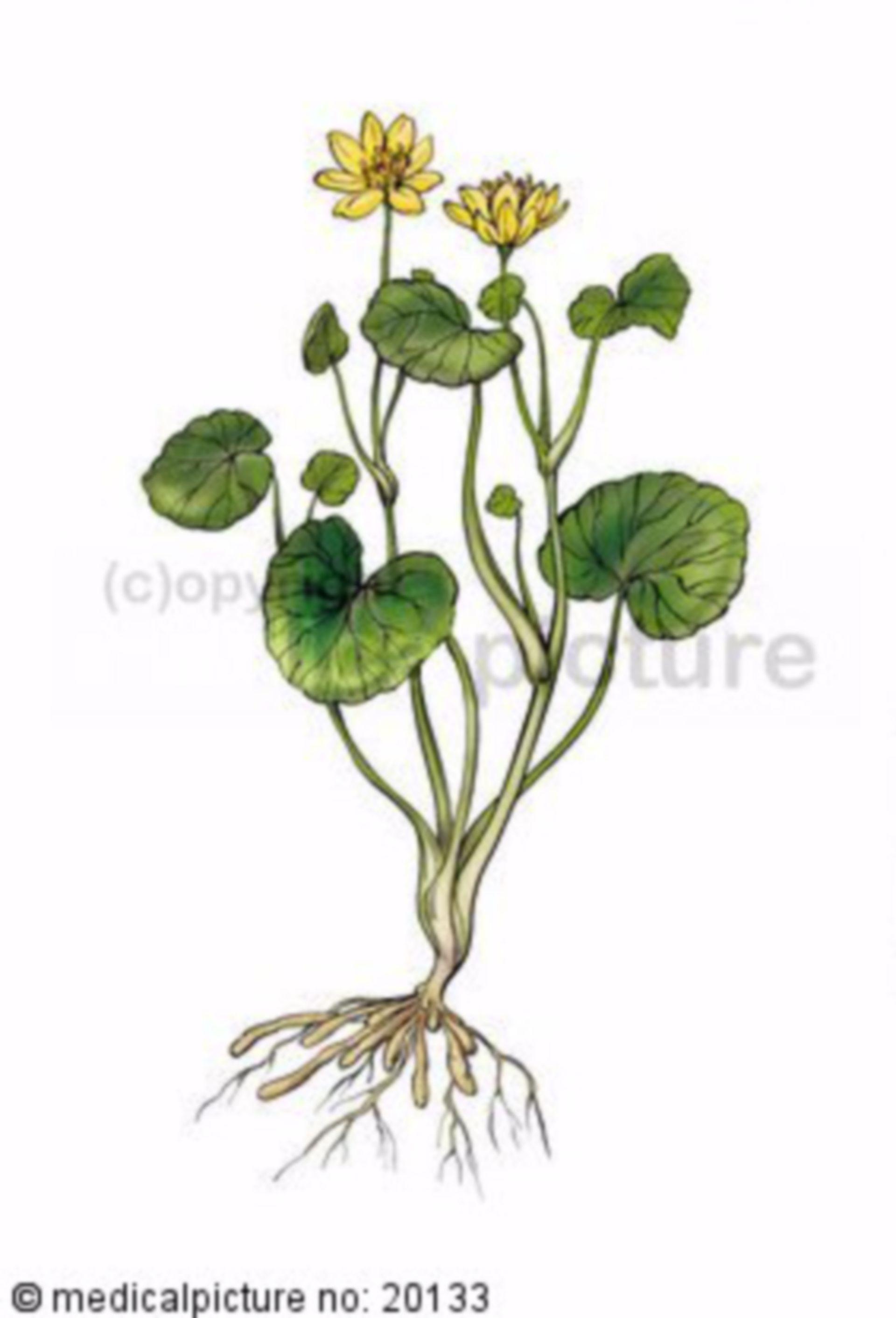 Pilewort, Ranunculus ficaria