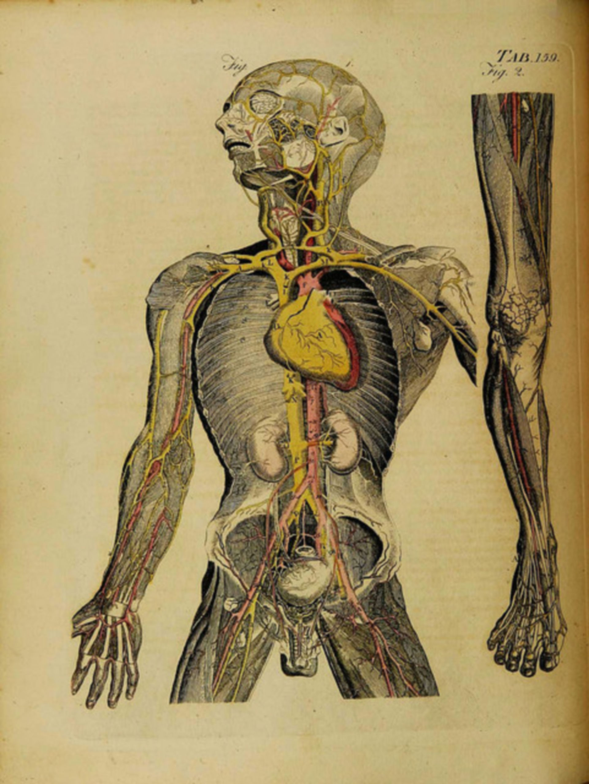 Gefäßversorgung des Körpers