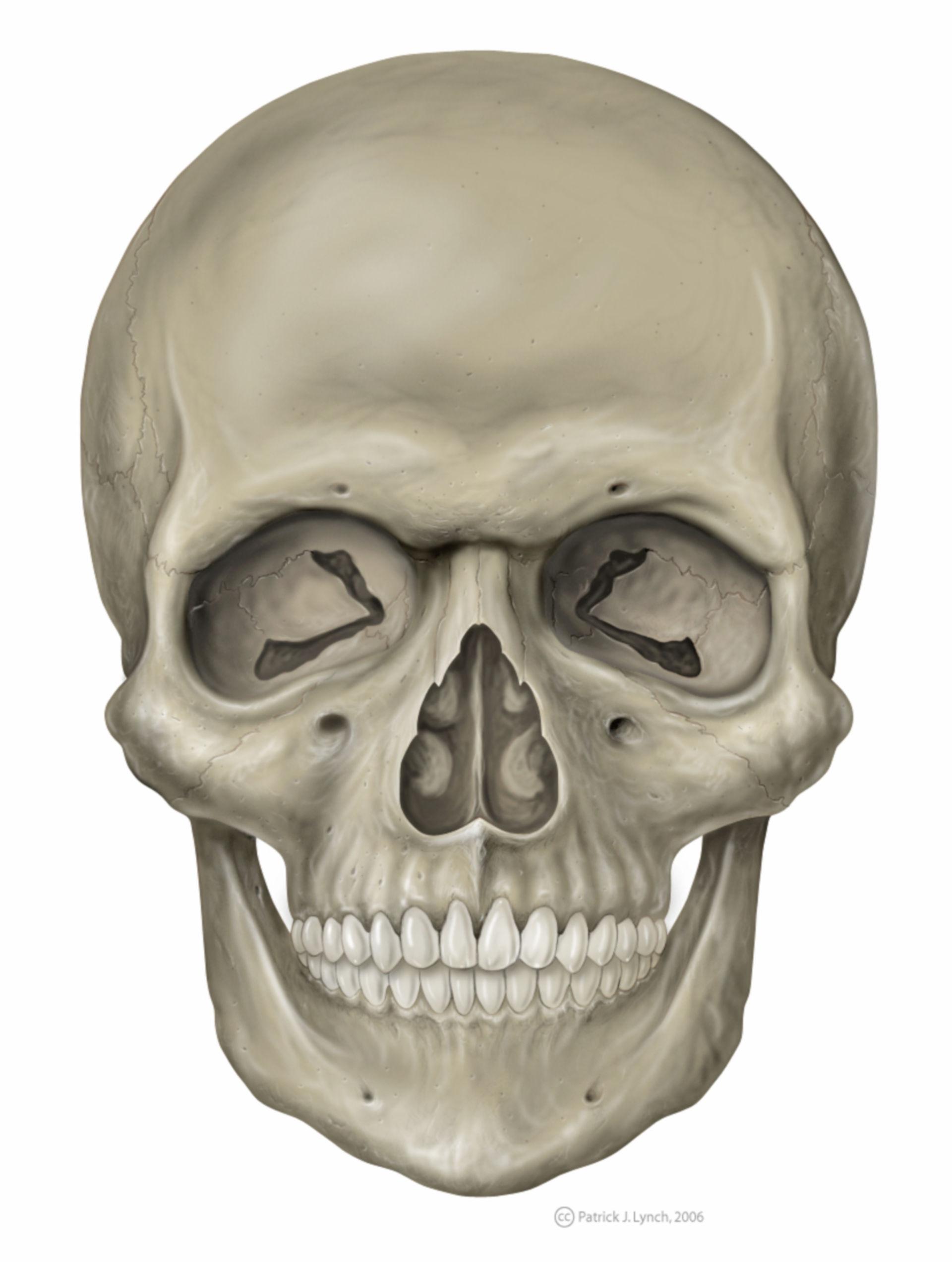 Schädel frontal (Illustration)