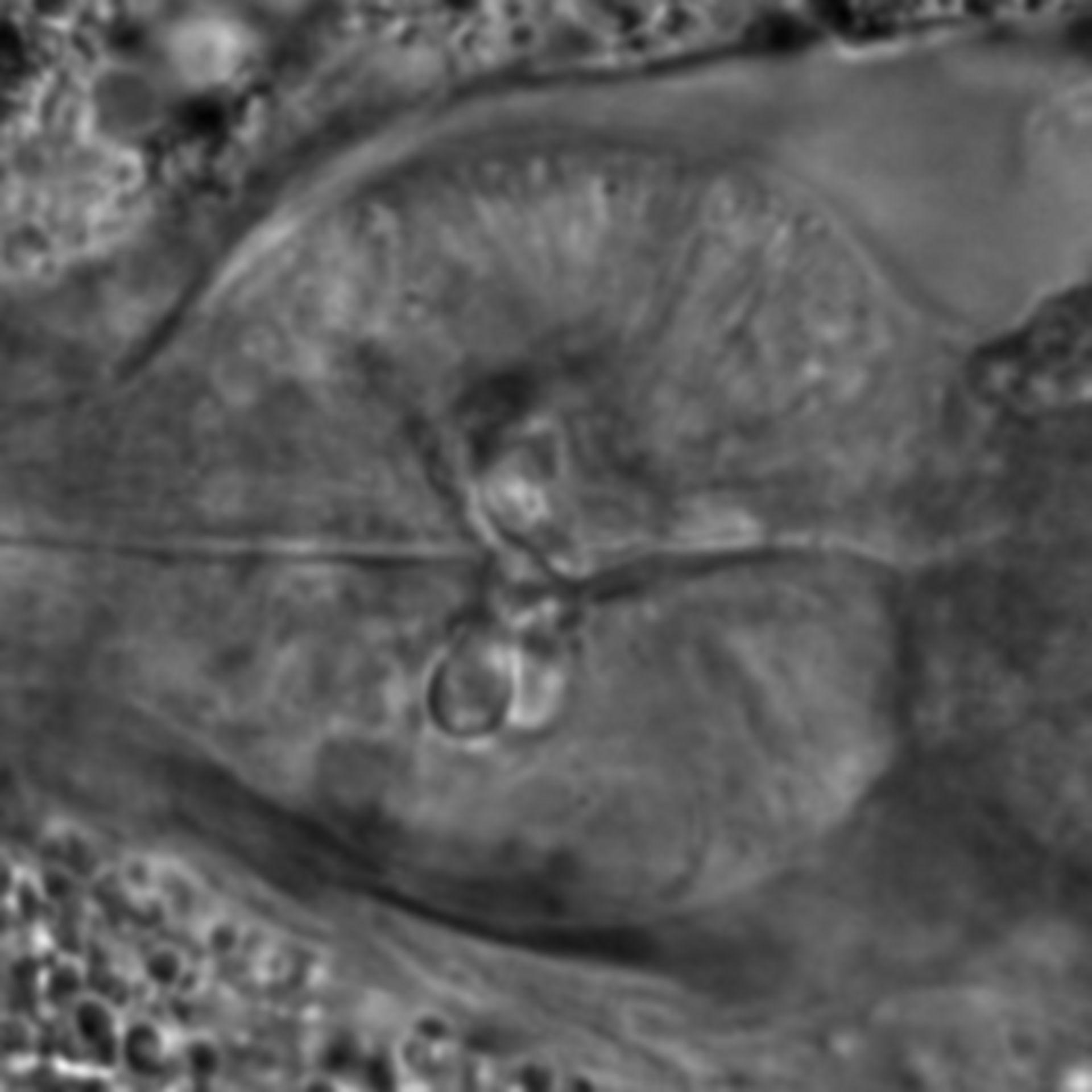 Caenorhabditis elegans - CIL:1940