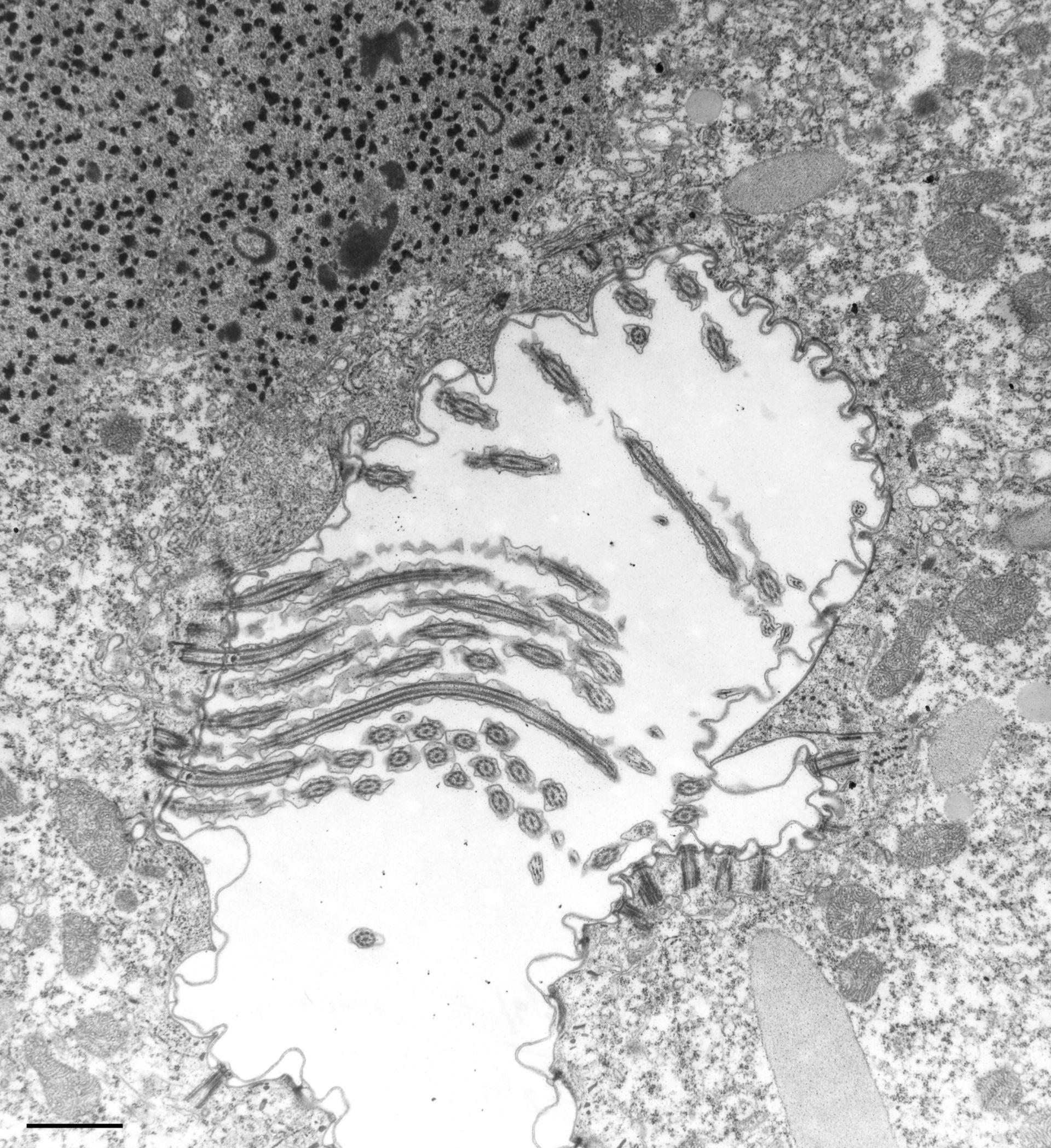 Paramecium caudatum (apparato orale) - CIL:36774