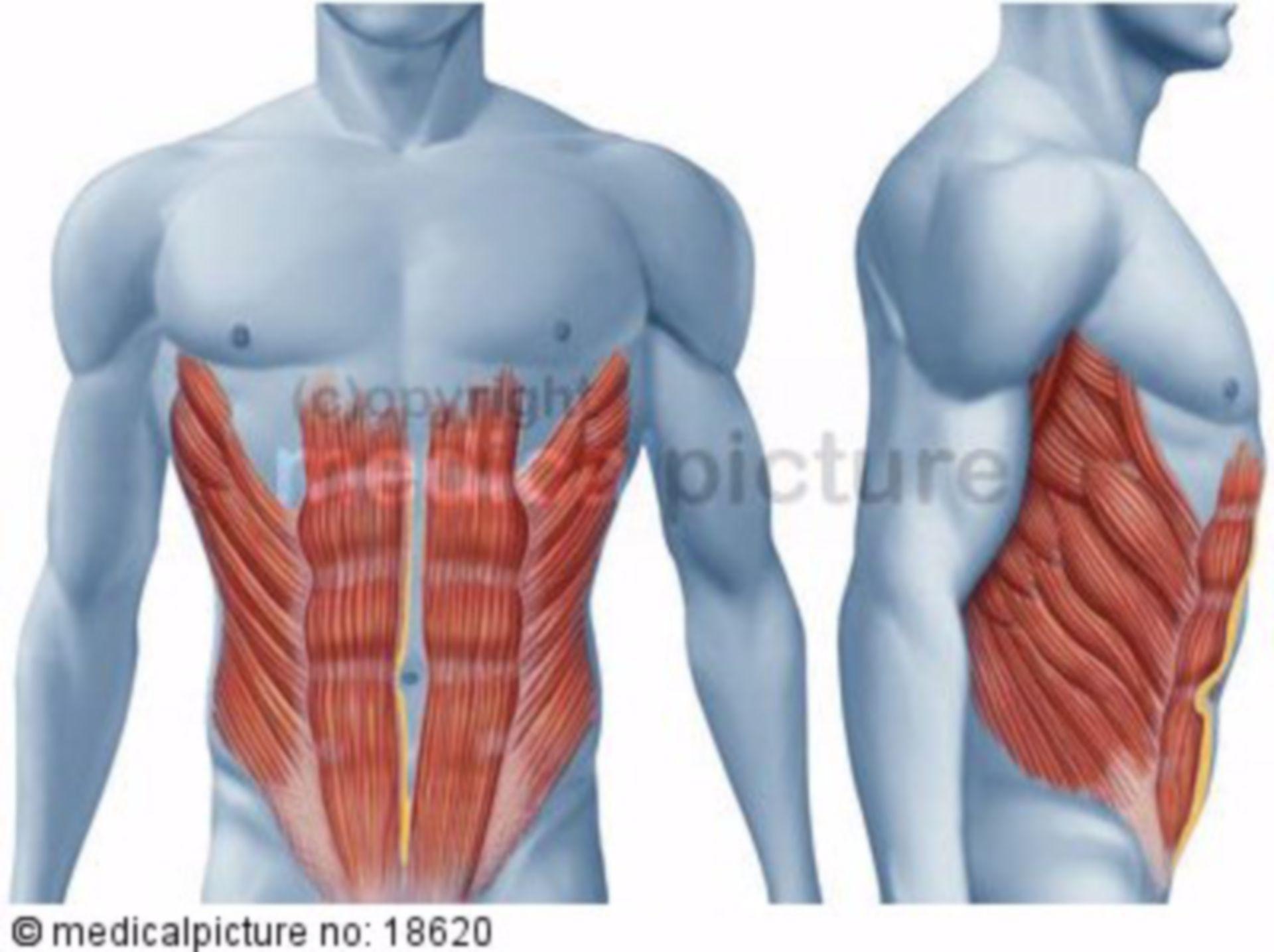 Muscolatura addominale