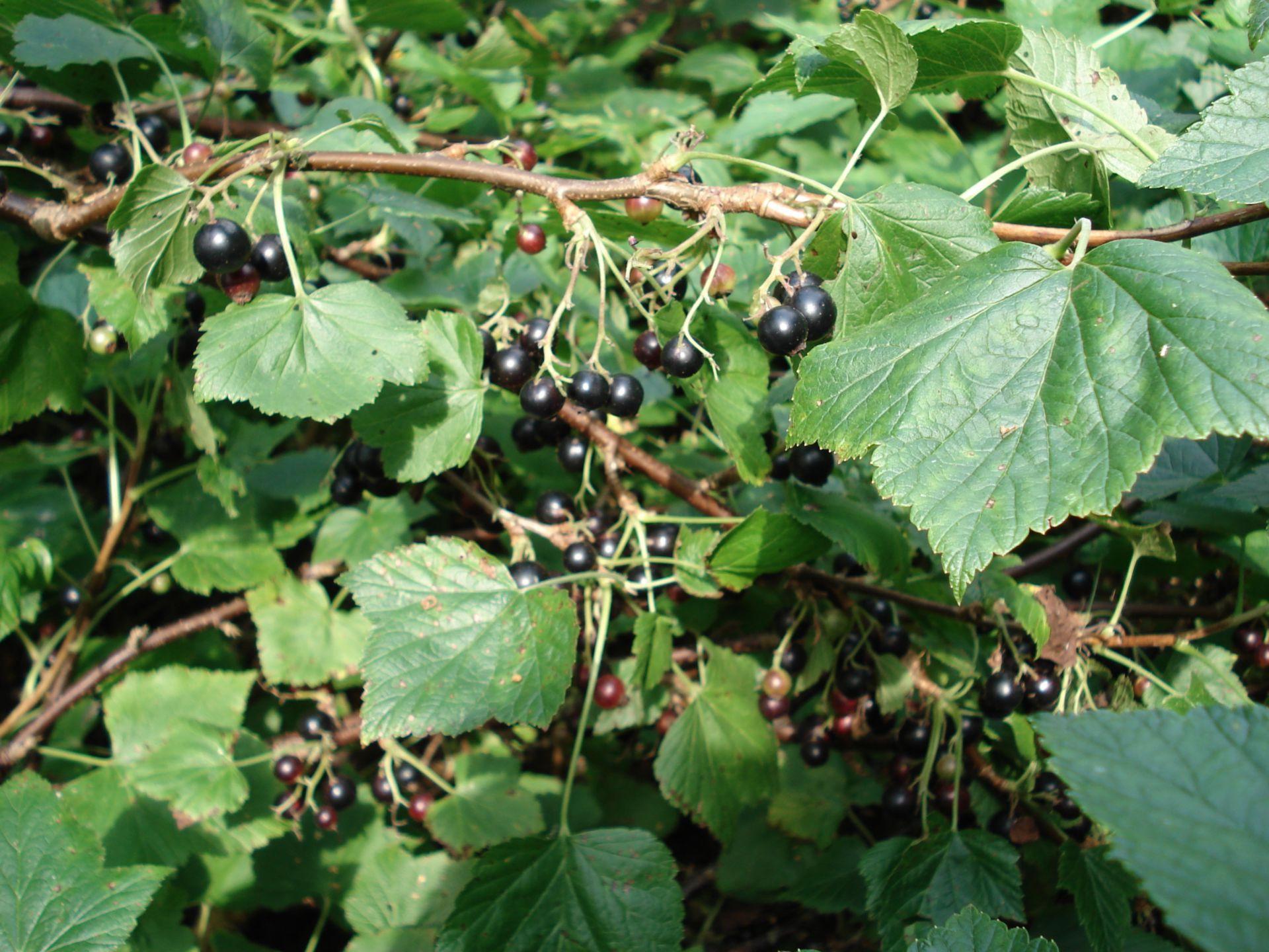 Ribes nero Ribes 02