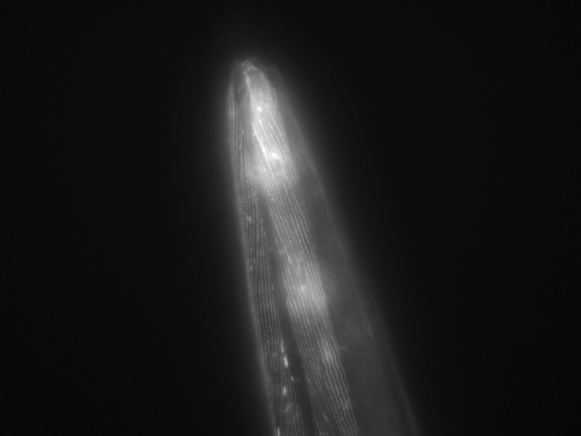 Caenorhabditis elegans (Actin filament) - CIL:1013