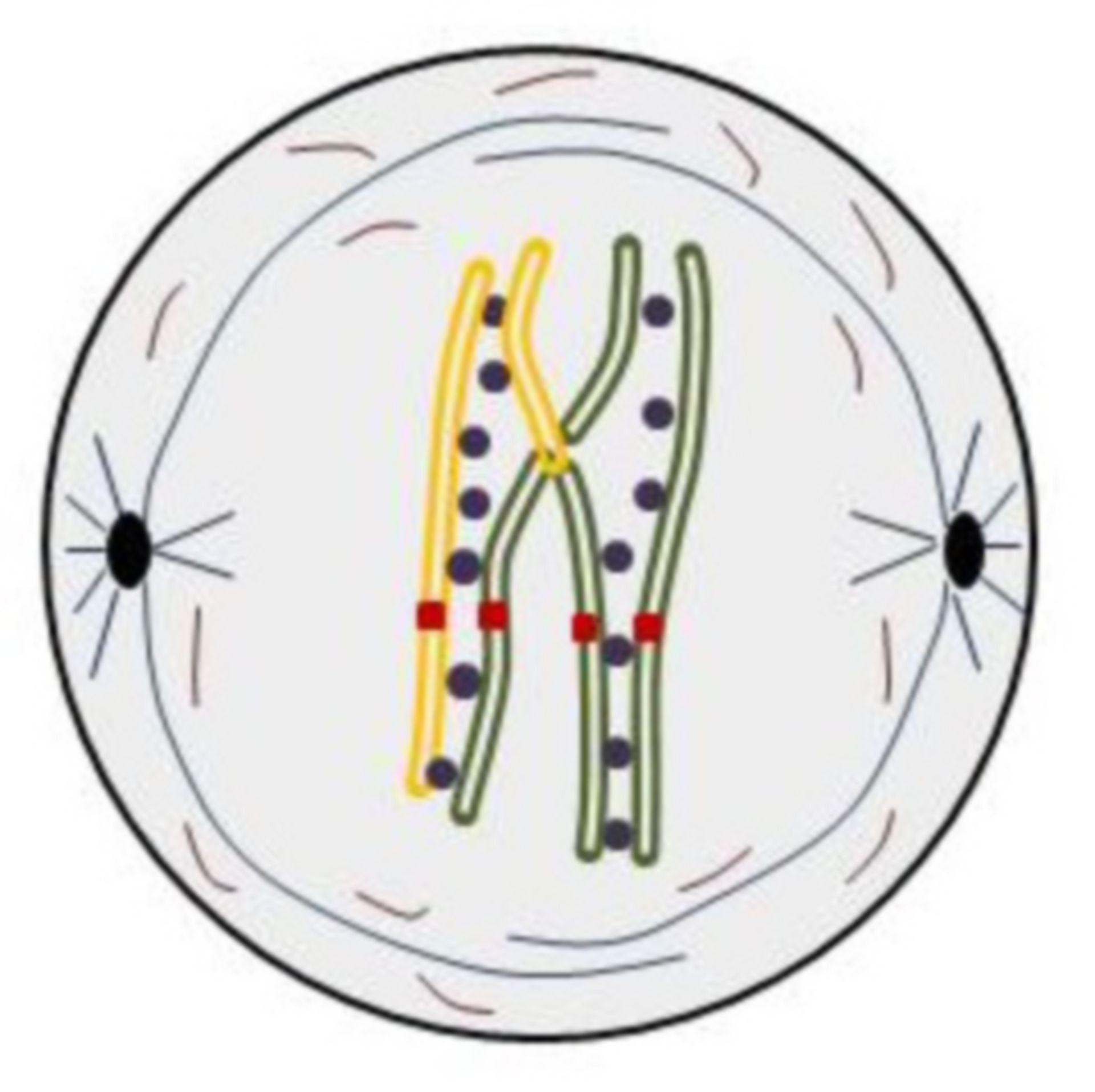 Diakinesis