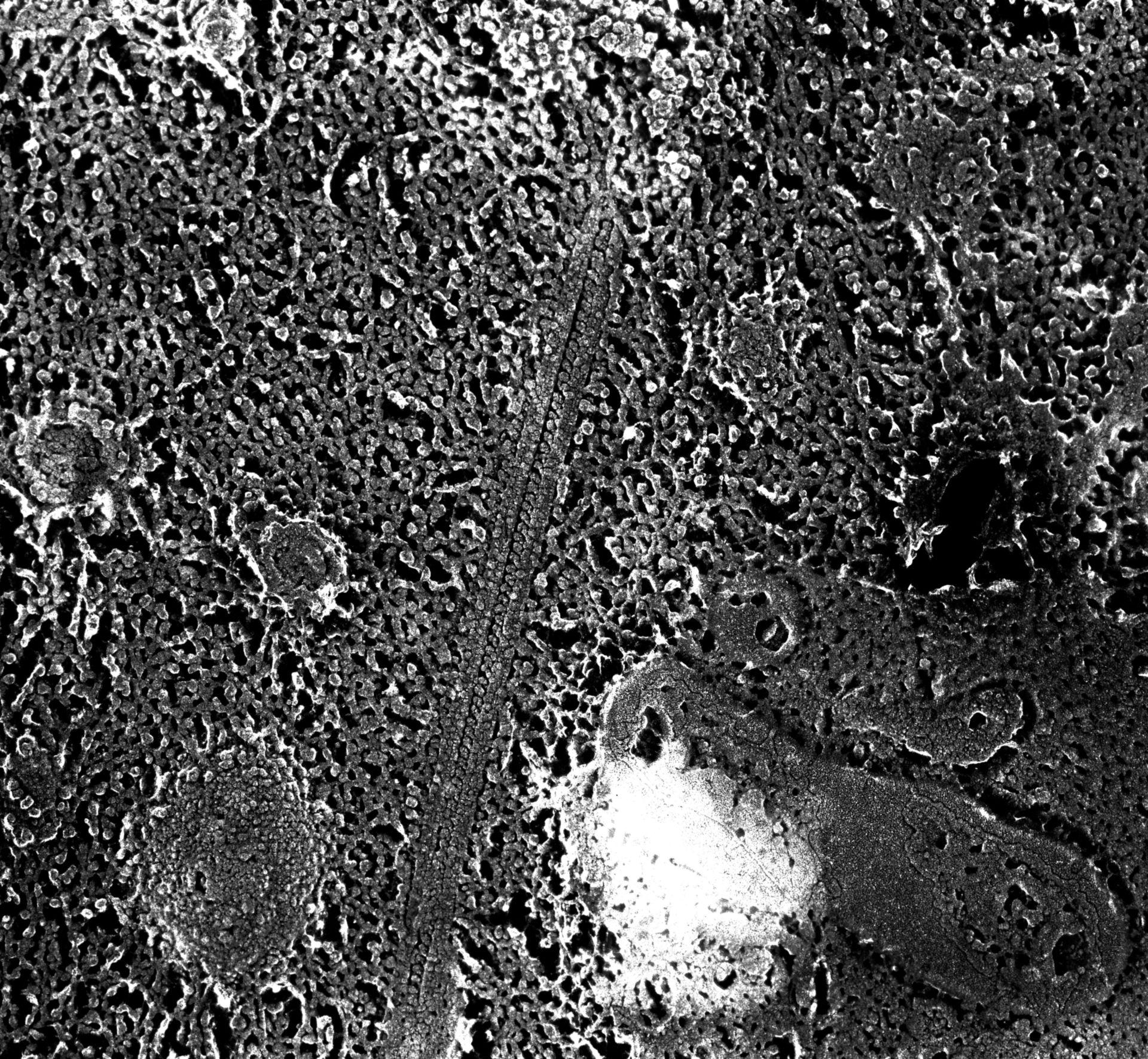 Paramecium multimicronucleatum (microtubuli anexali) - CIL:12036